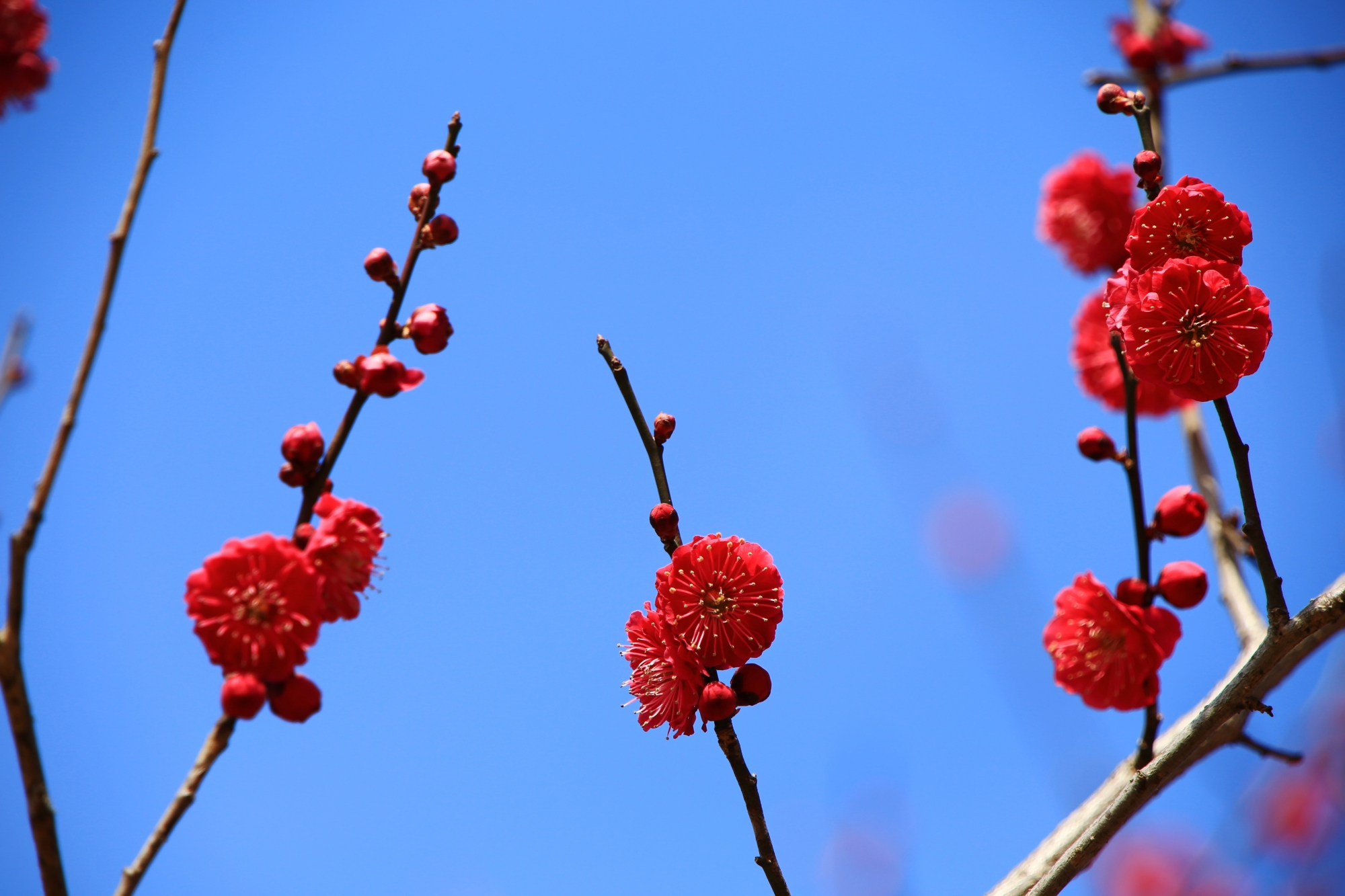 鮮烈な色合いの梅の花