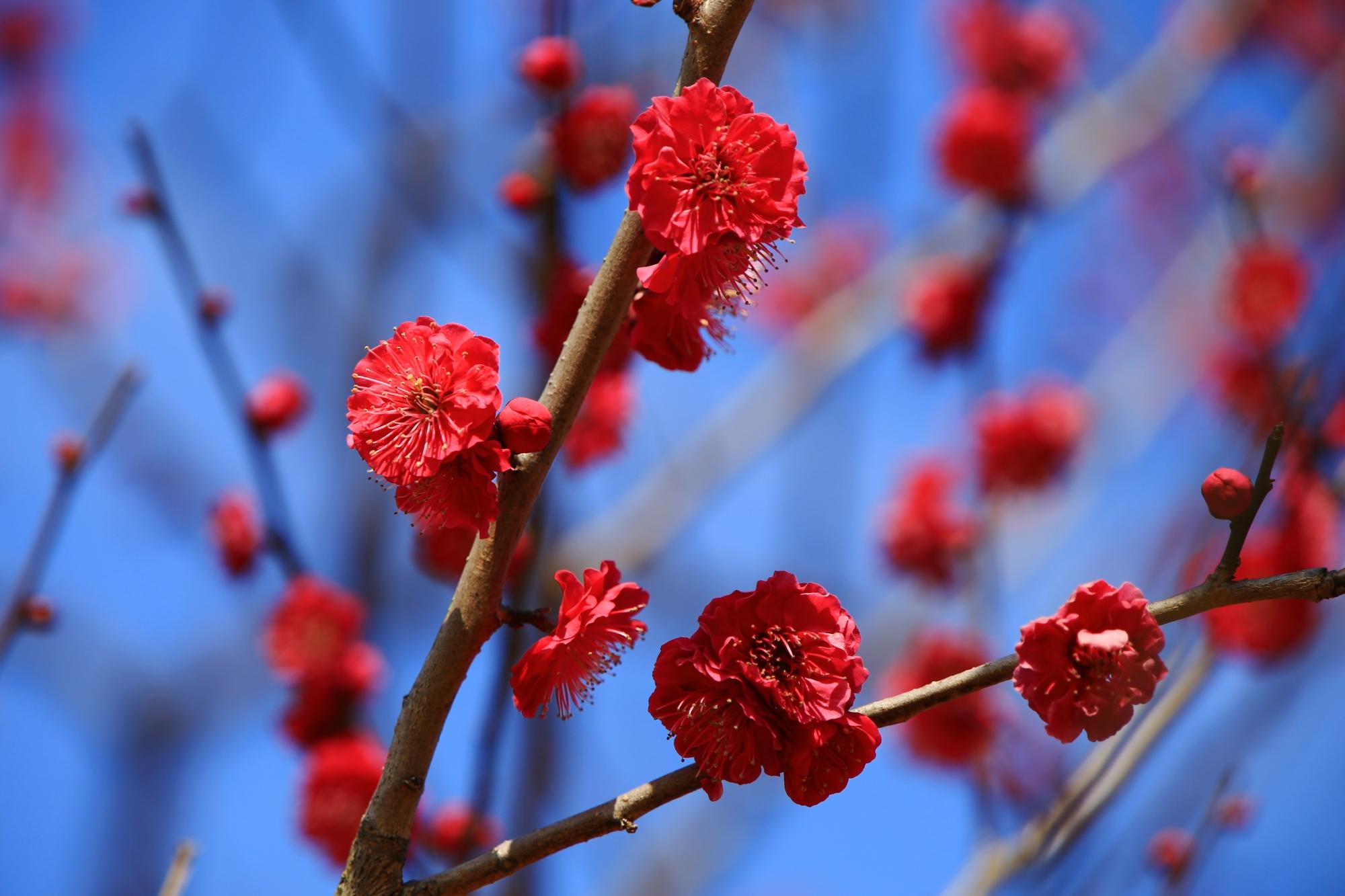 青空をそめる赤に近い濃いビビッドなピンクの梅の花