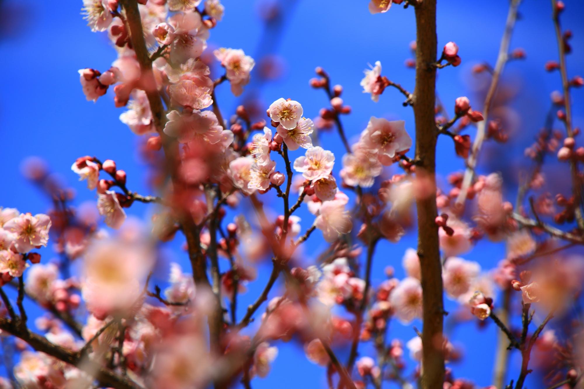 青空に映える薄いピンクの梅の花