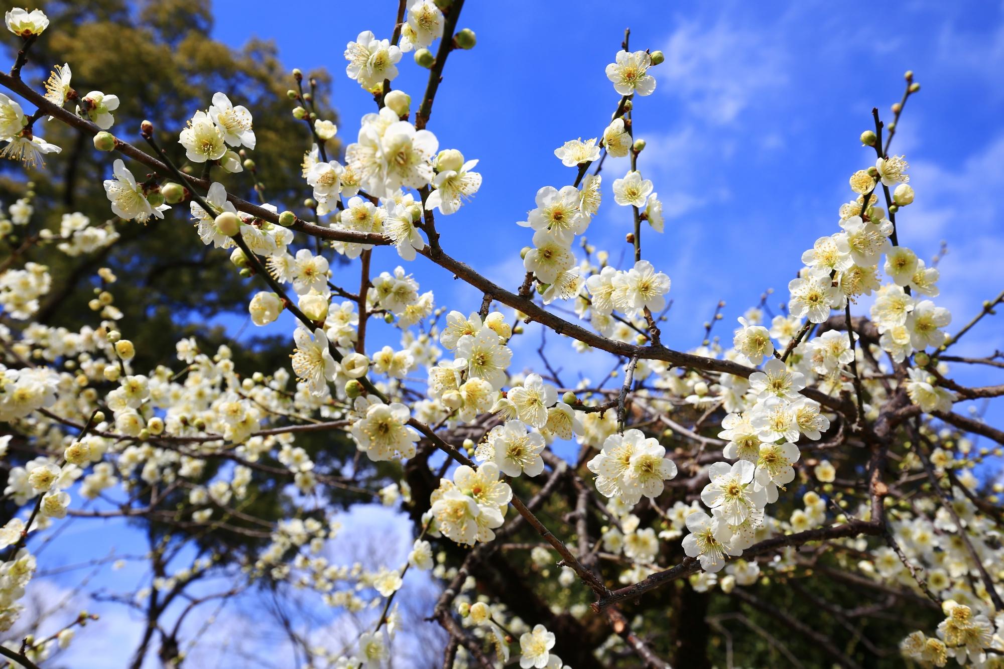 少し黄色か緑の入った白い梅の花