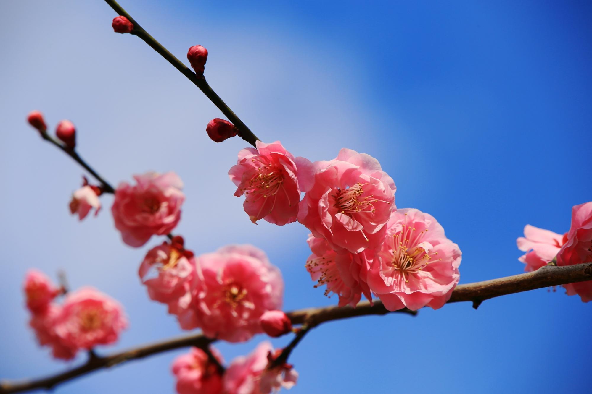 一つ一つの花は非常に繊細な造りの見事なピンク色の梅の花