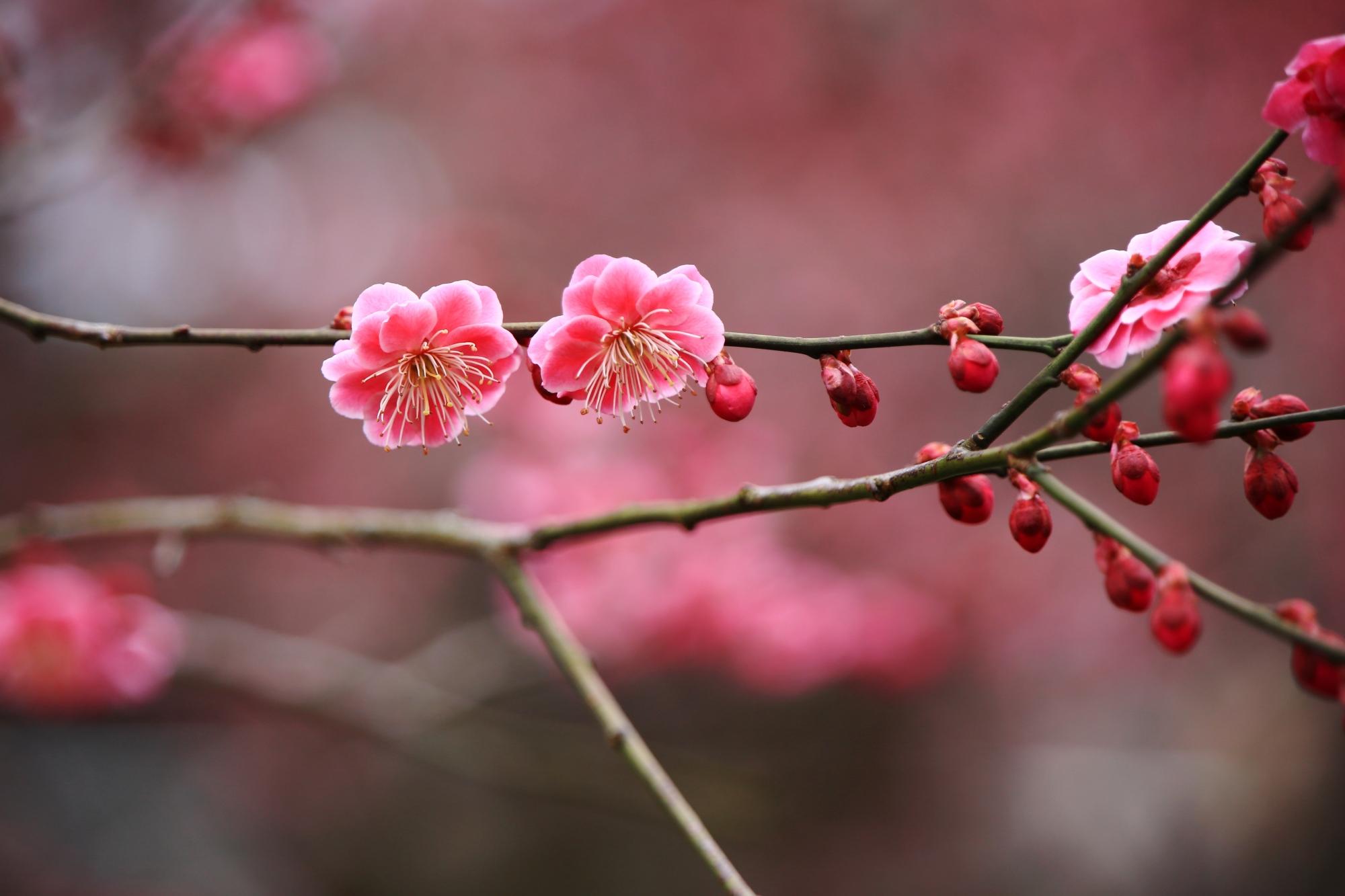 ピンクの可愛らしい梅