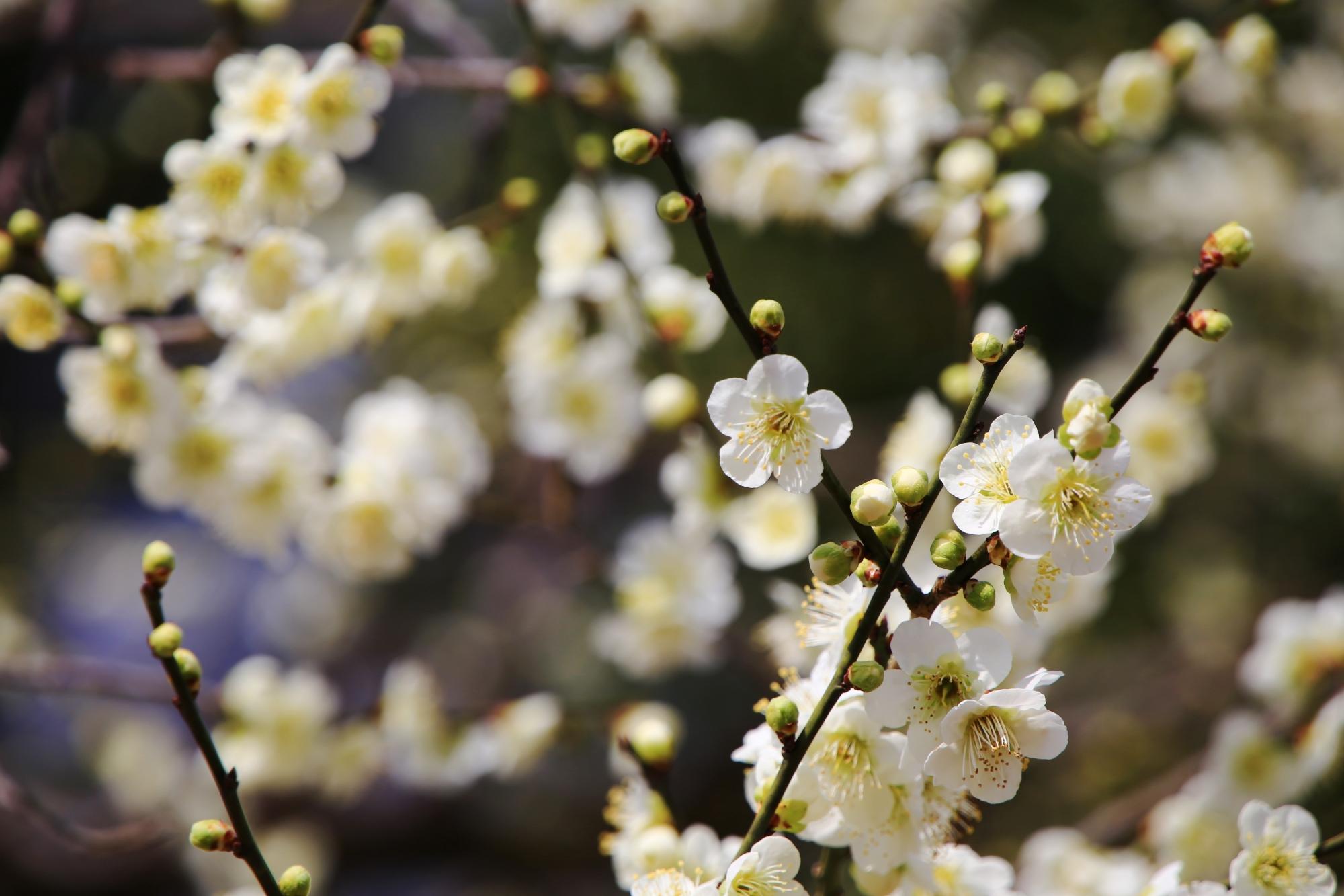 春先をほのかに彩る綺麗な梅
