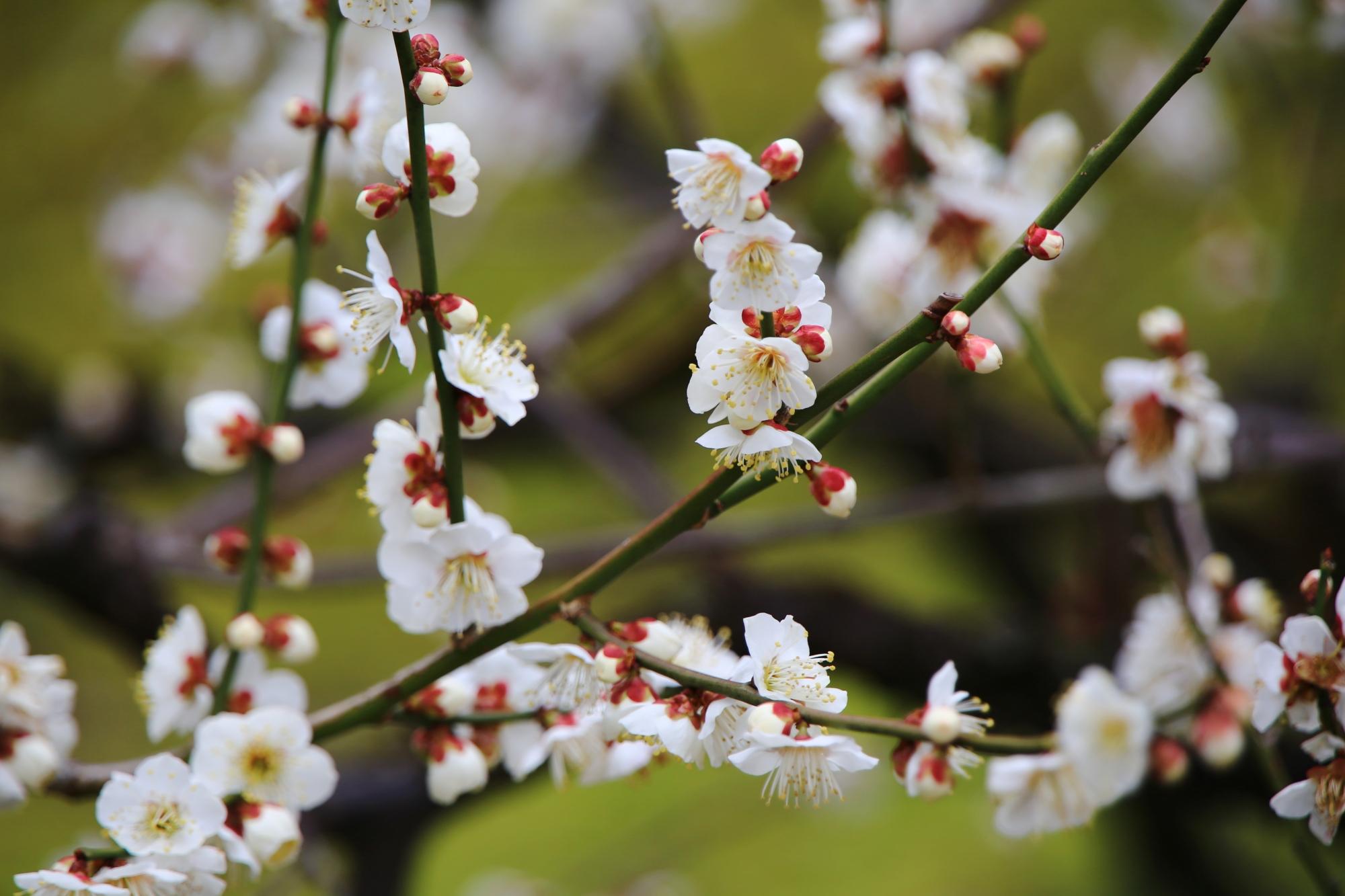 花の根元(ガク片)の小豆色がアクセントにもなる白梅