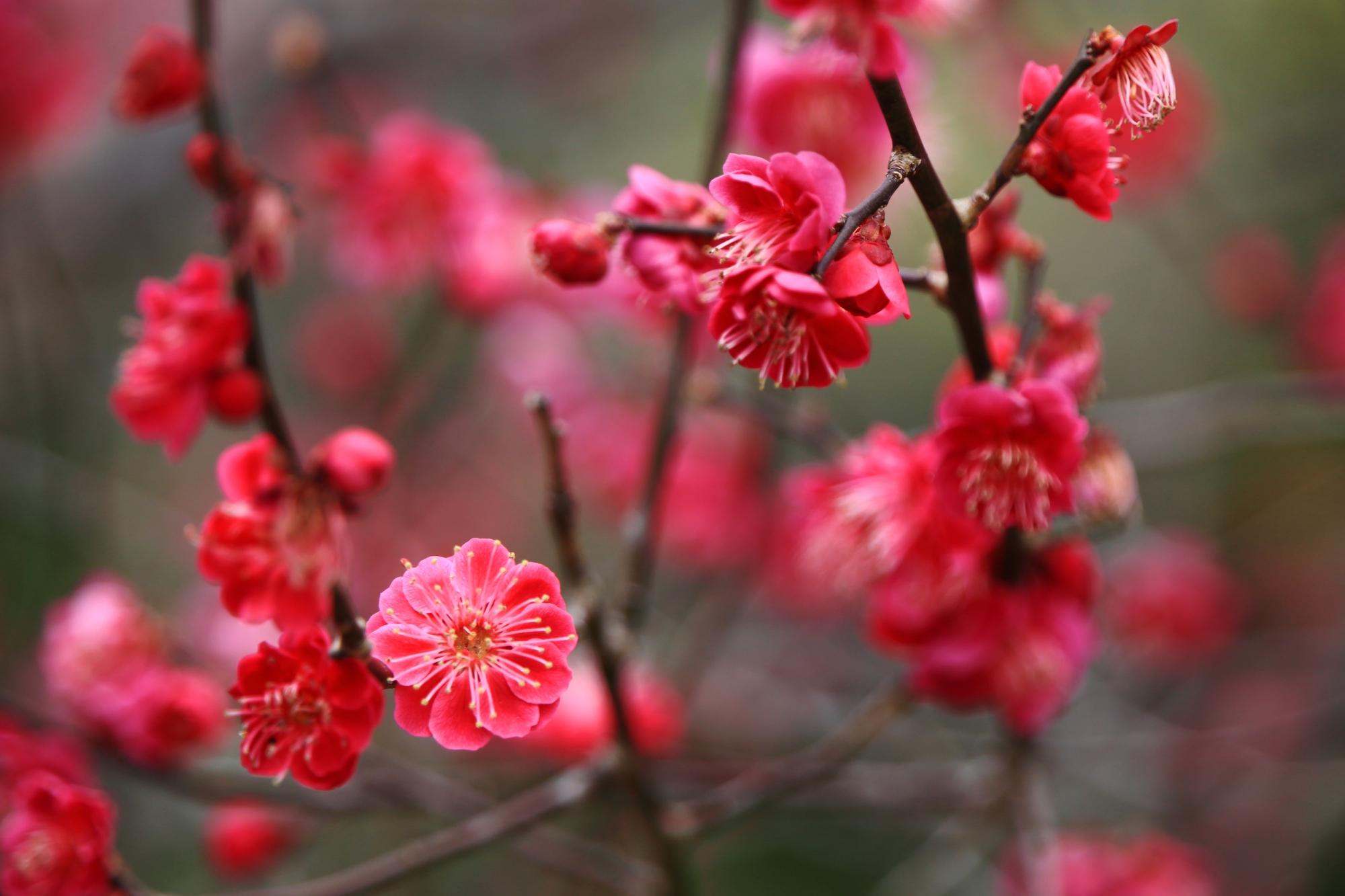 北野天満宮の鮮やかな色合いの満開の梅の花