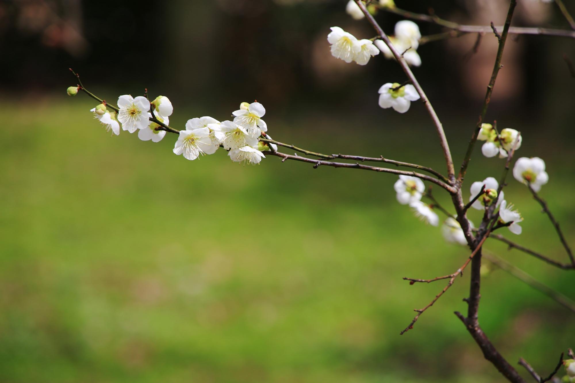 緑を背景にした風情ある梅の花