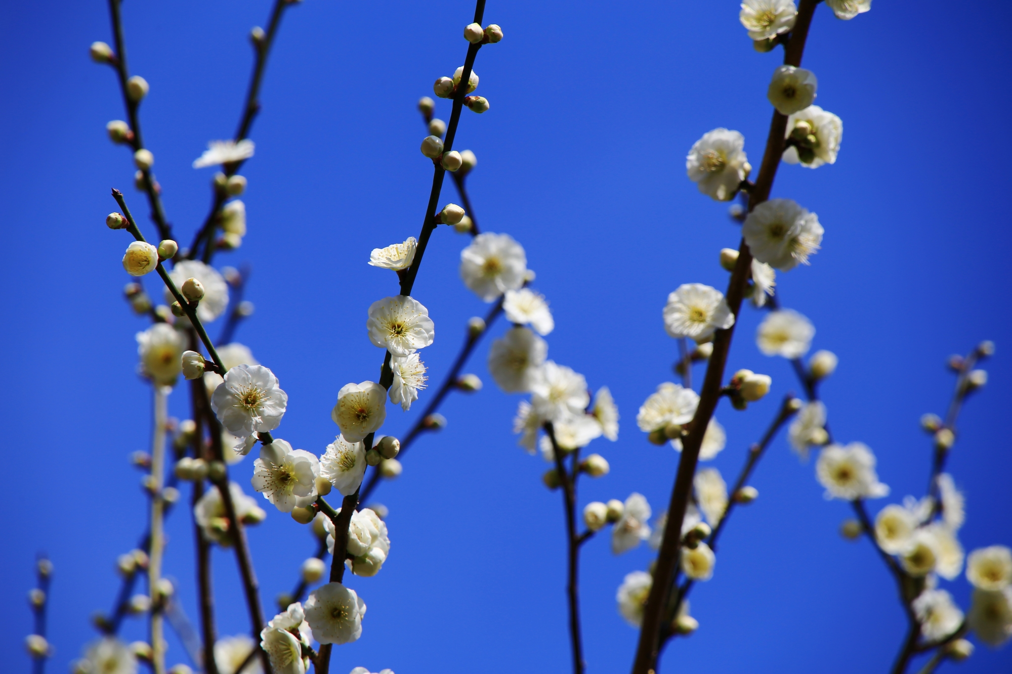 青空に映える華やかな白梅