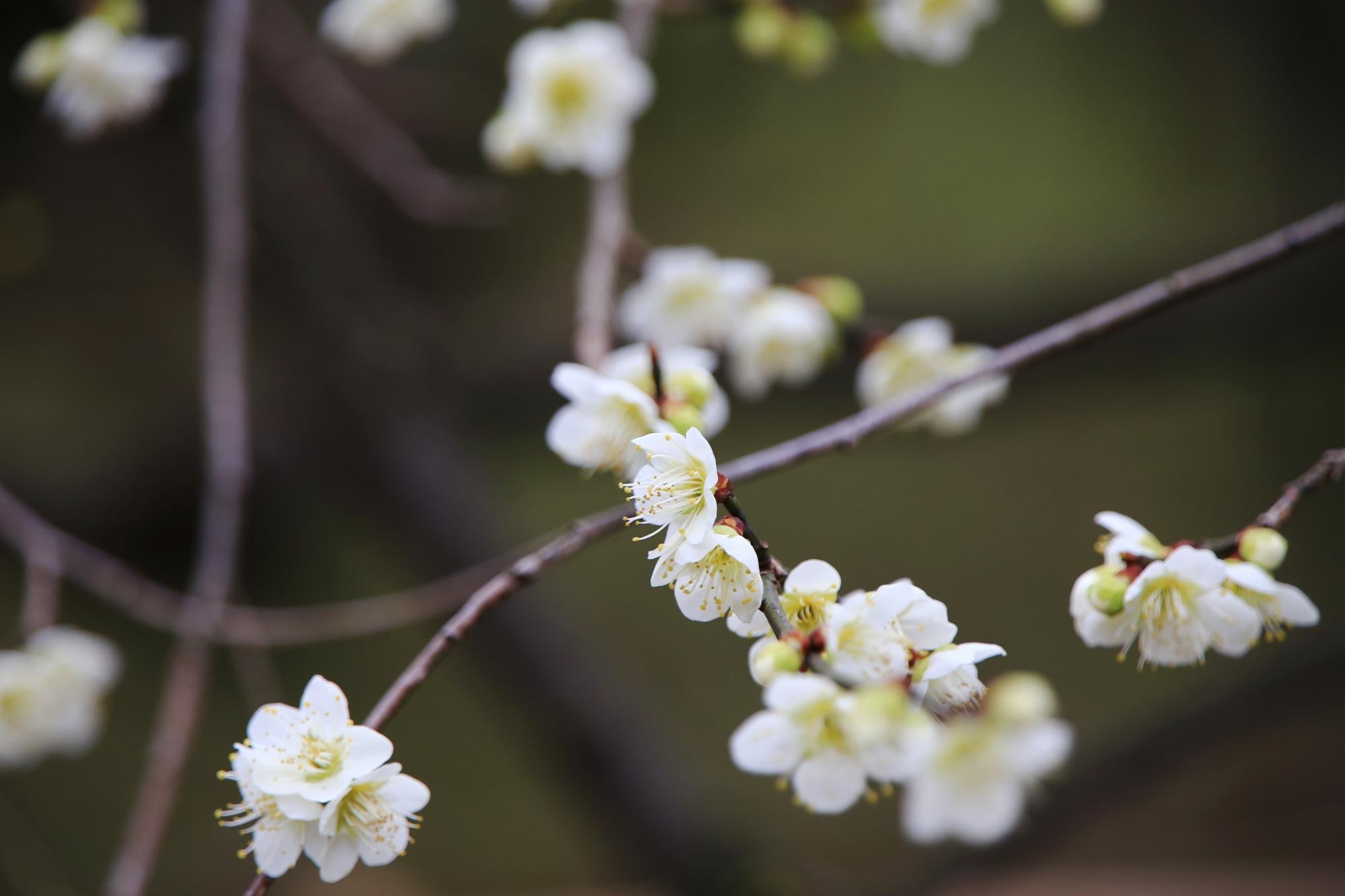 控えめに咲く上品な白い梅