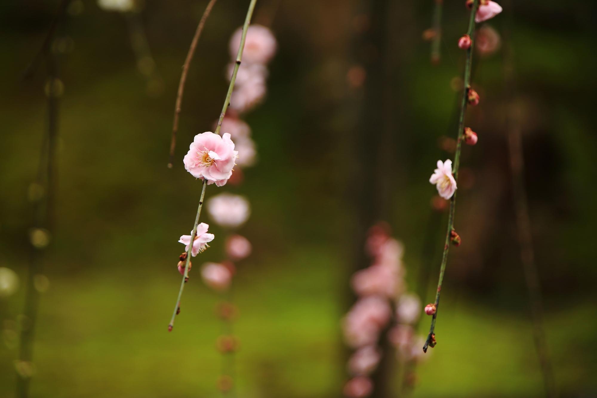 趣きのあるポツンと咲く梅の花