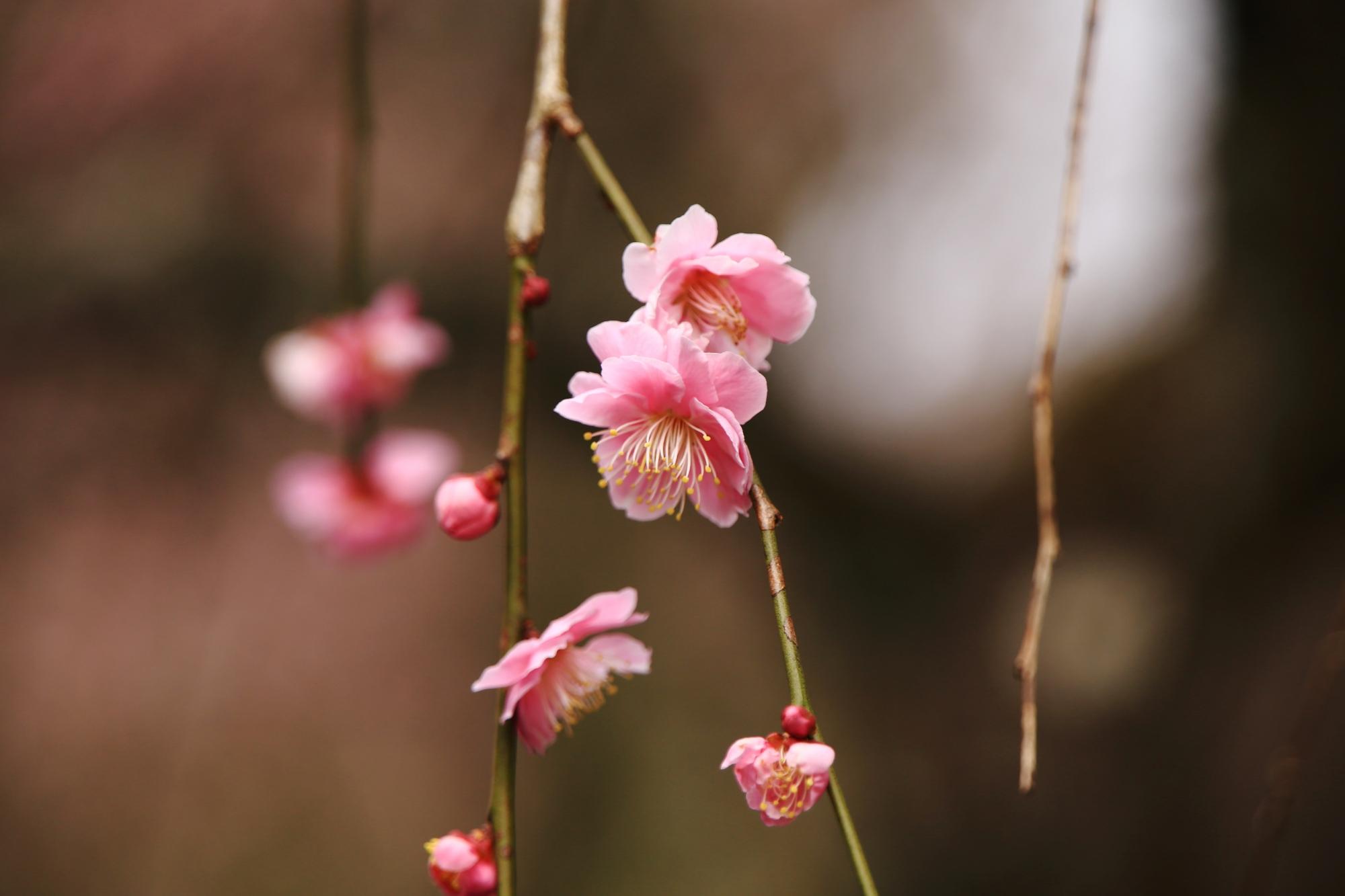 一輪一輪一生懸命に咲く梅の花
