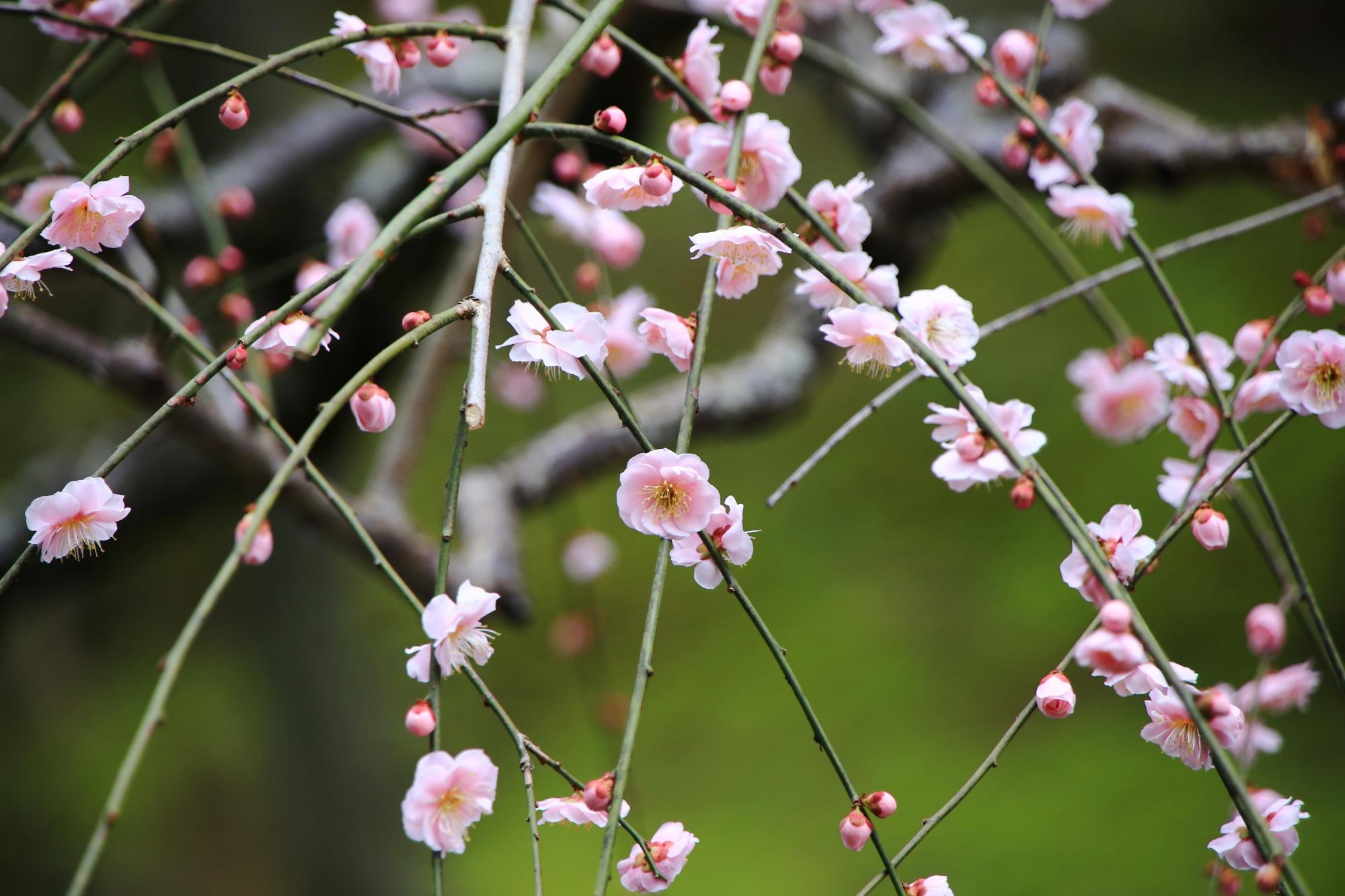 ピンクの華やかなしだれ梅