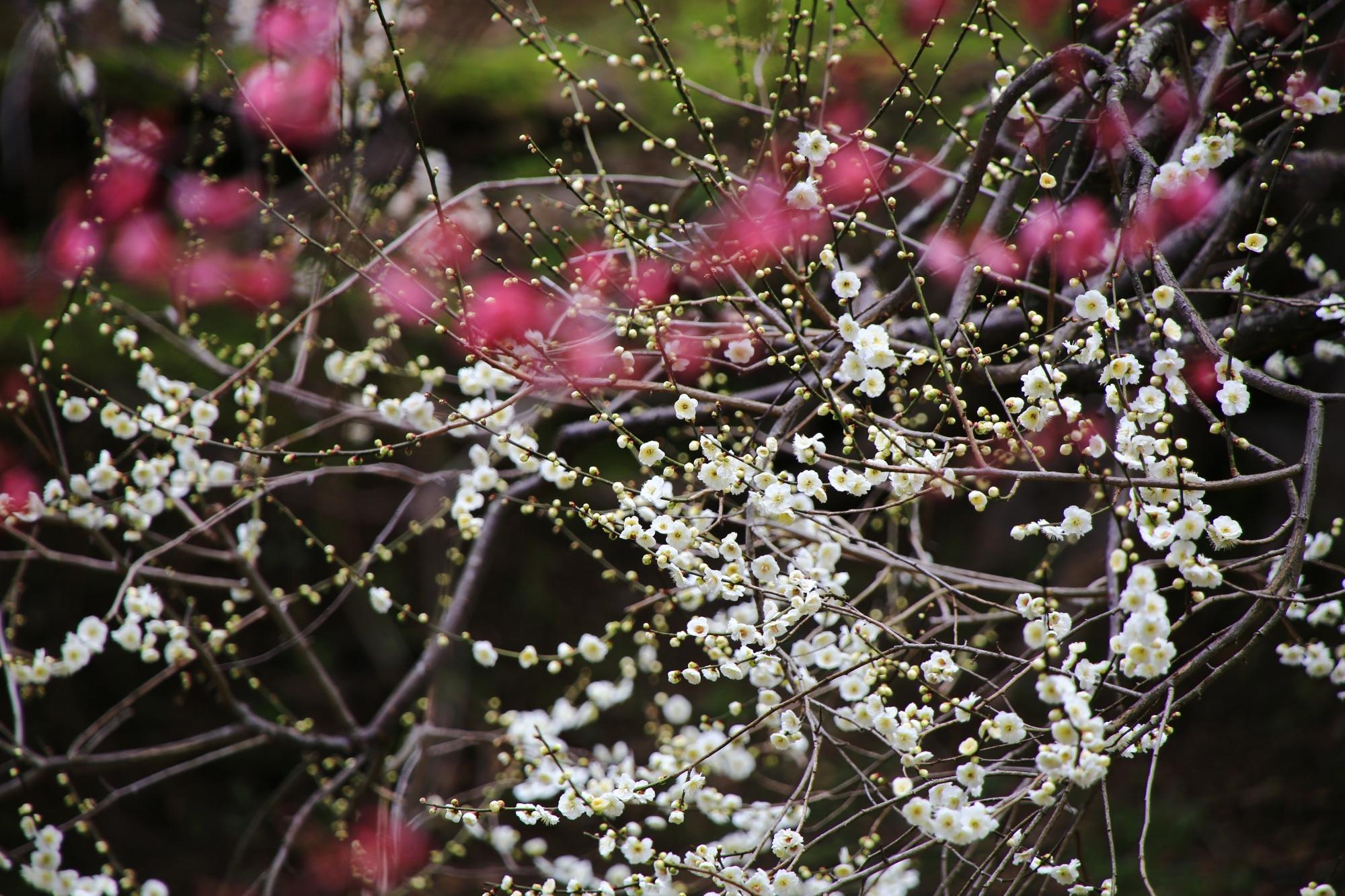 北野天満宮の多種多様な梅の花