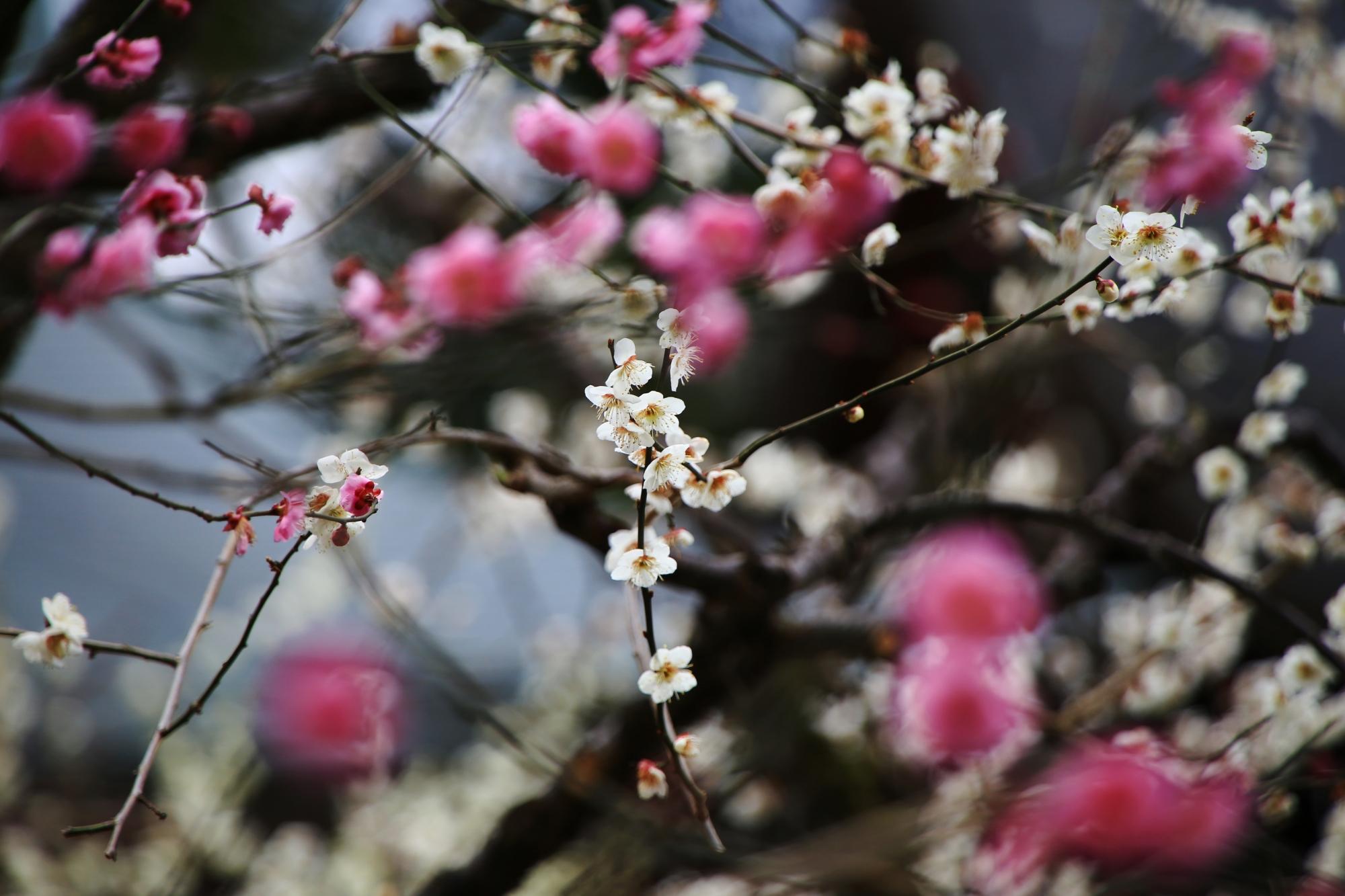 紅白の梅のコラボ