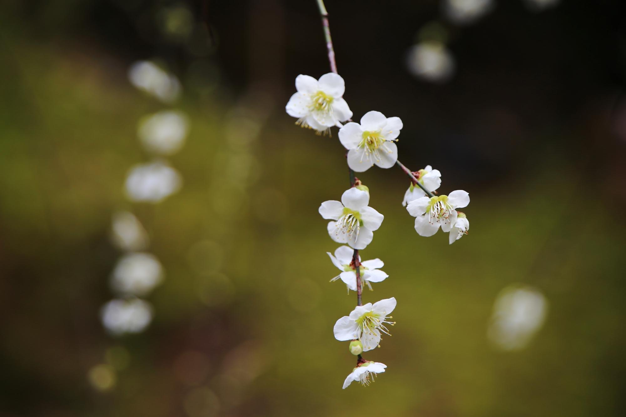 上品で芸術的な梅の枝と花