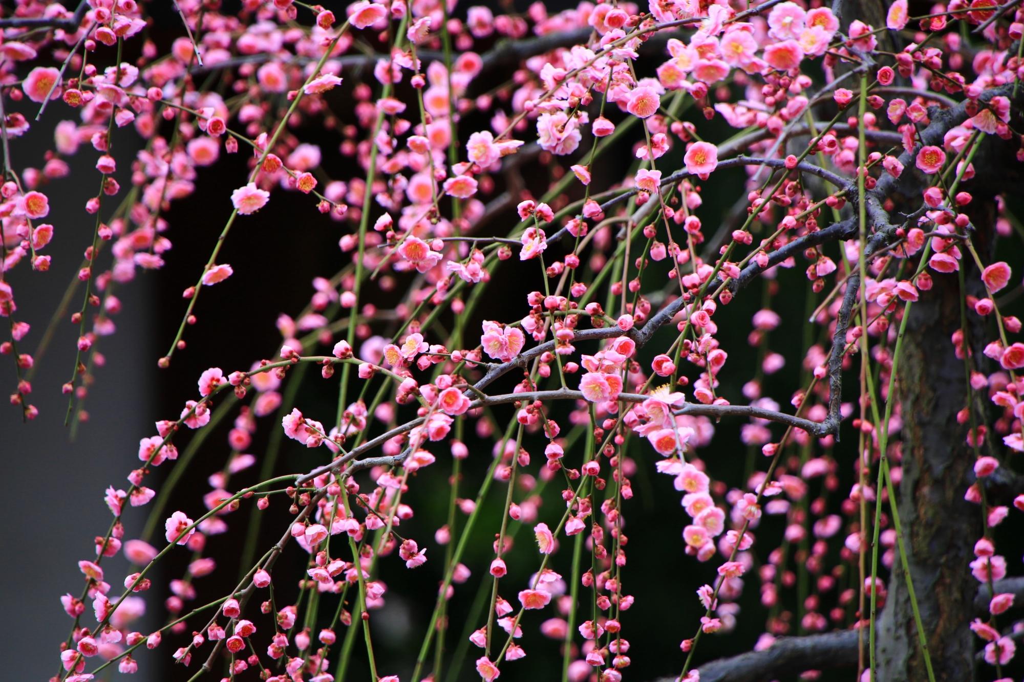 弾けるような可愛いピンクの梅の花