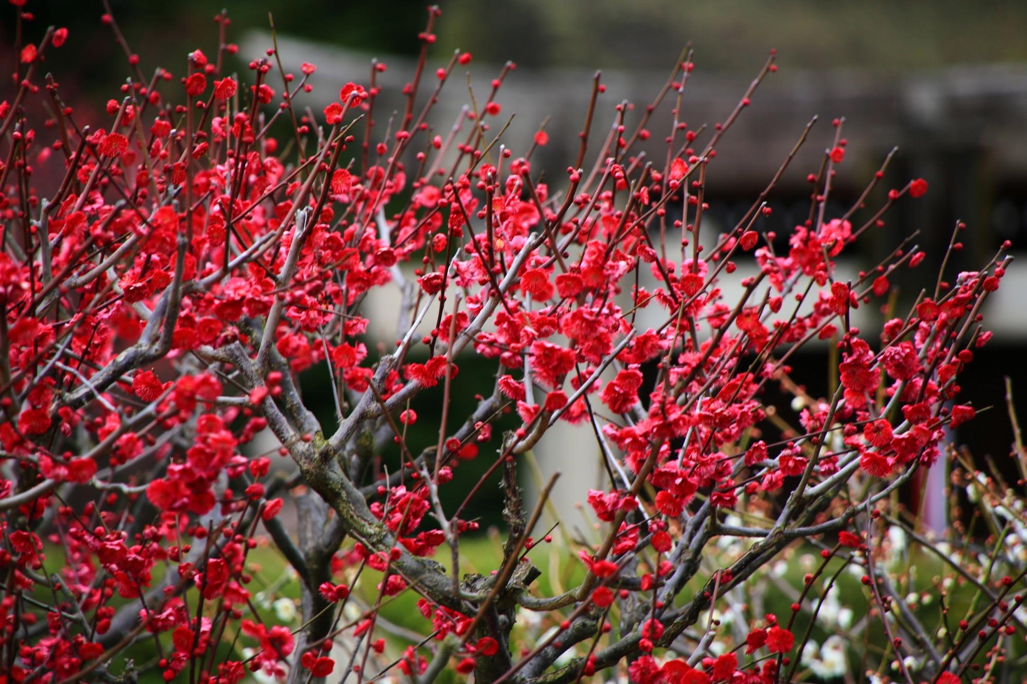 鮮やかで鮮烈な赤い梅の花
