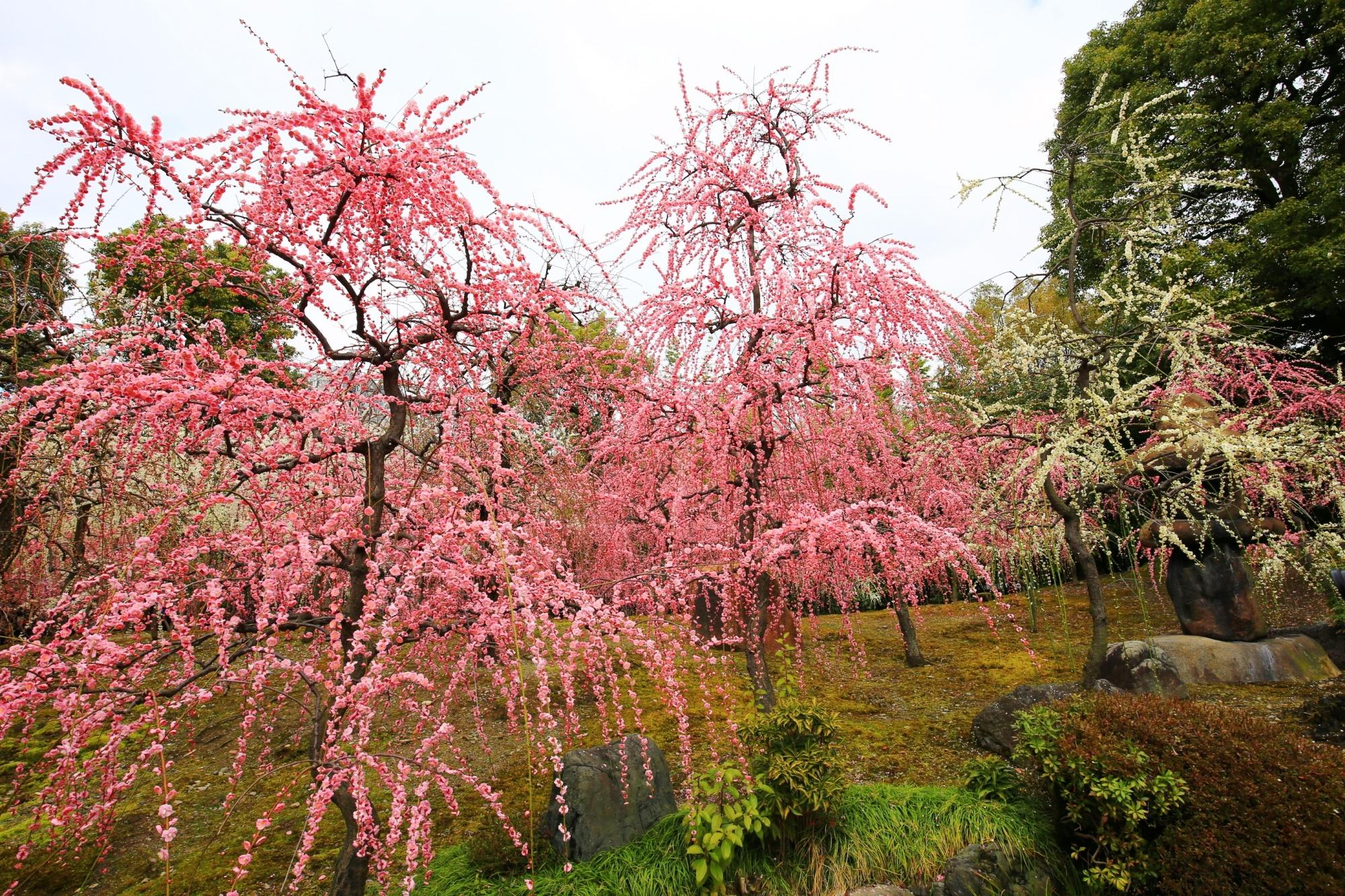 満開のピンクと白のしだれ梅