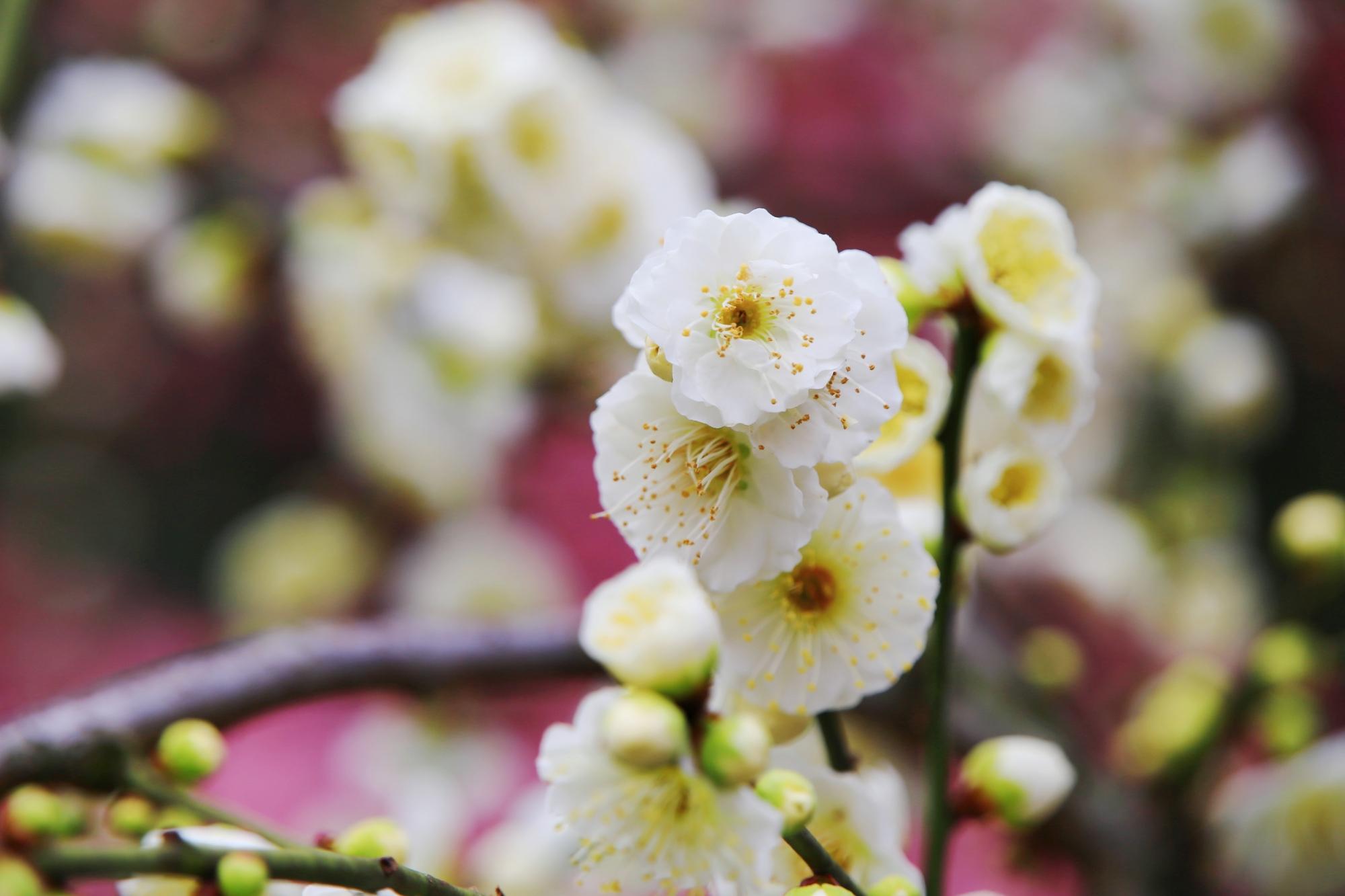 城南宮の白い優しい梅の花