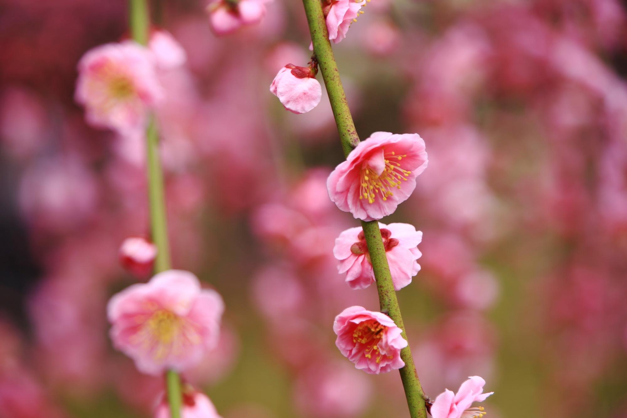 一輪一輪は繊細で可愛い花