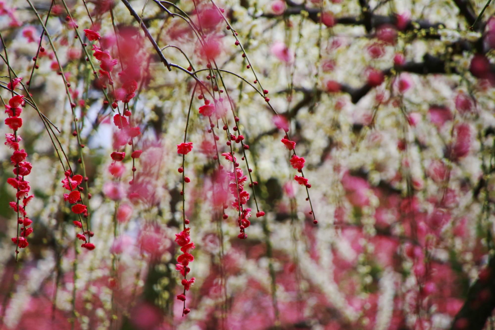 白い梅を背景にした鮮やかな彩りのピンクの梅