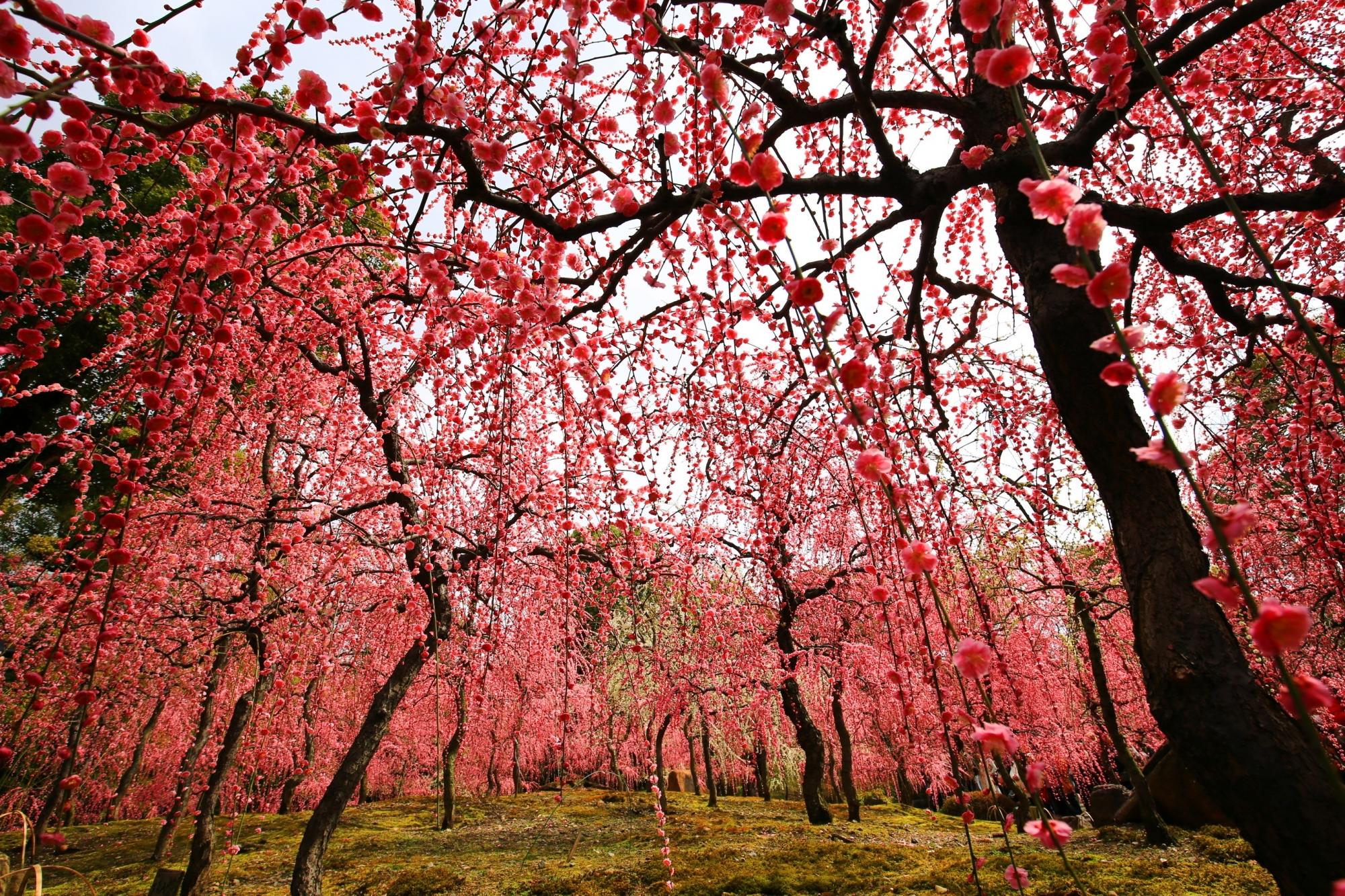 降り注ぐ絶品のピンクのしだれ梅