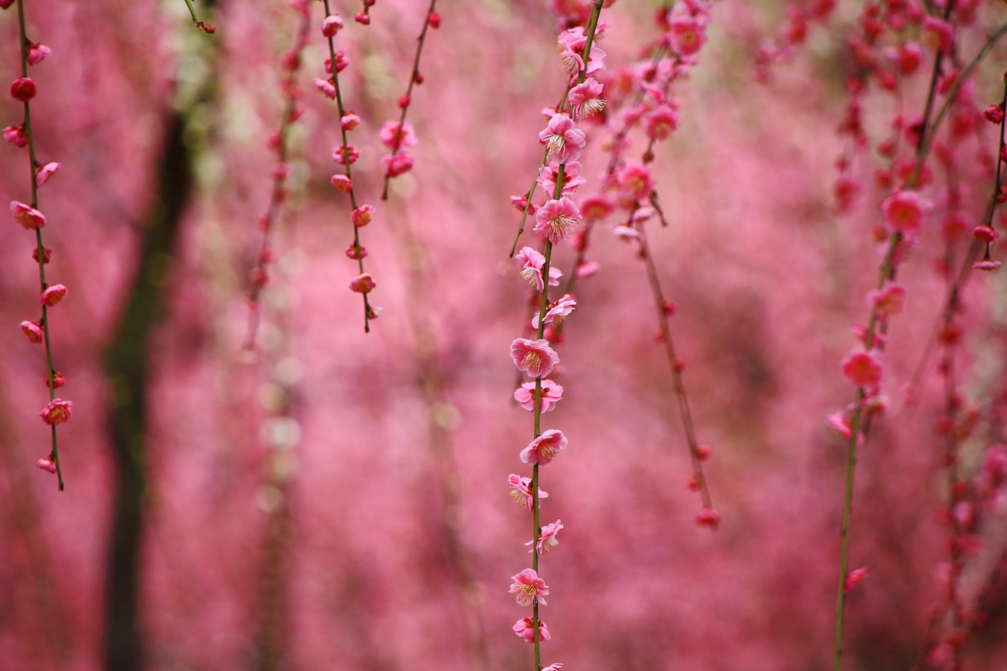 淡い色合いの中で咲く雅なしだれ梅