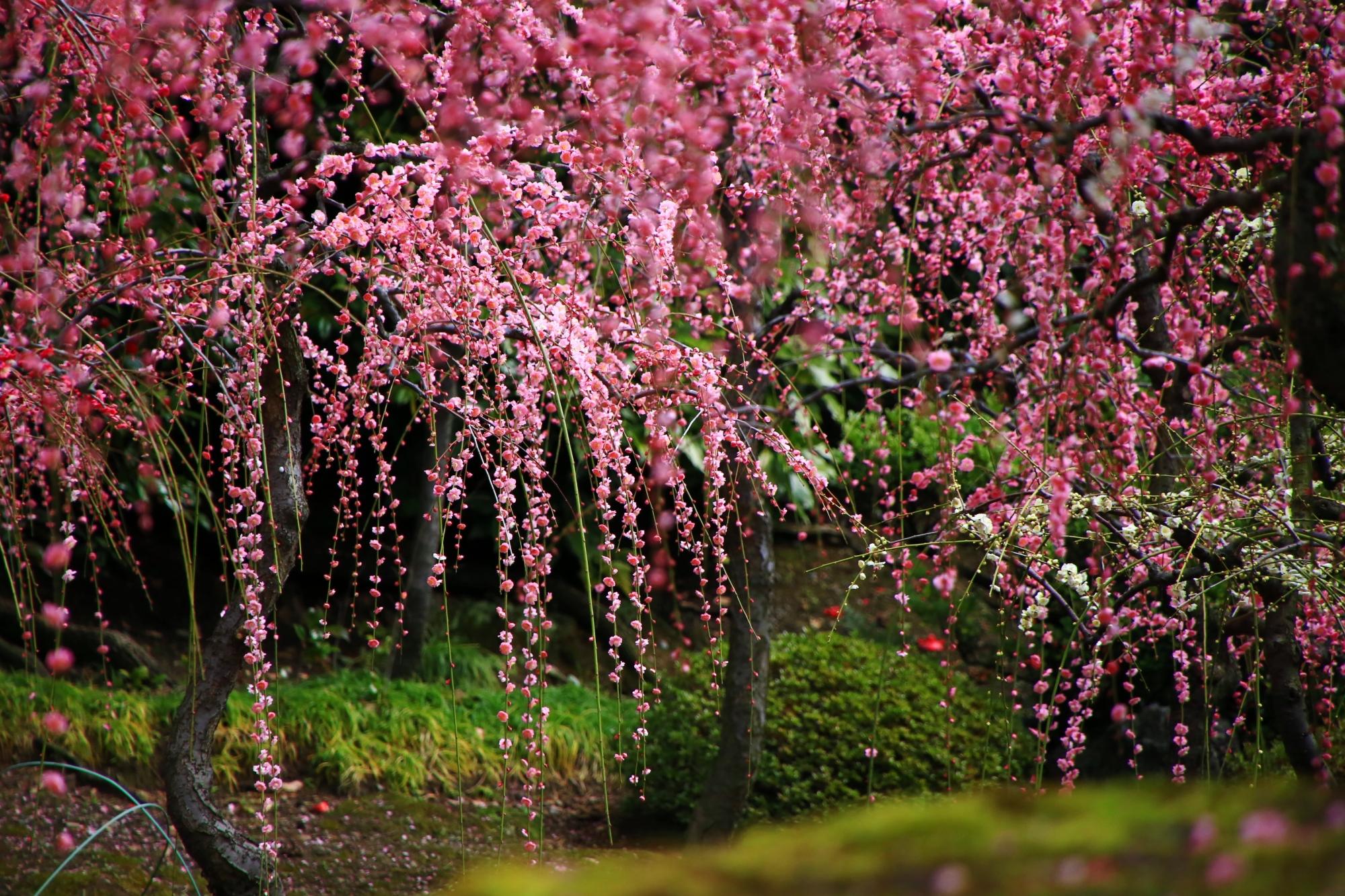 緑を背景にした趣きある梅
