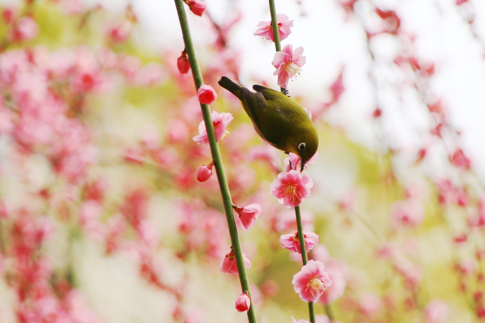 キビキビと動いて花の蜜を吸う目白