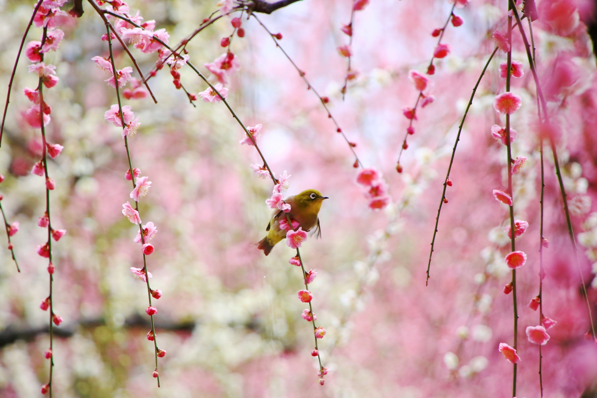 しだれ梅の枝に揺られる可愛いメジロ