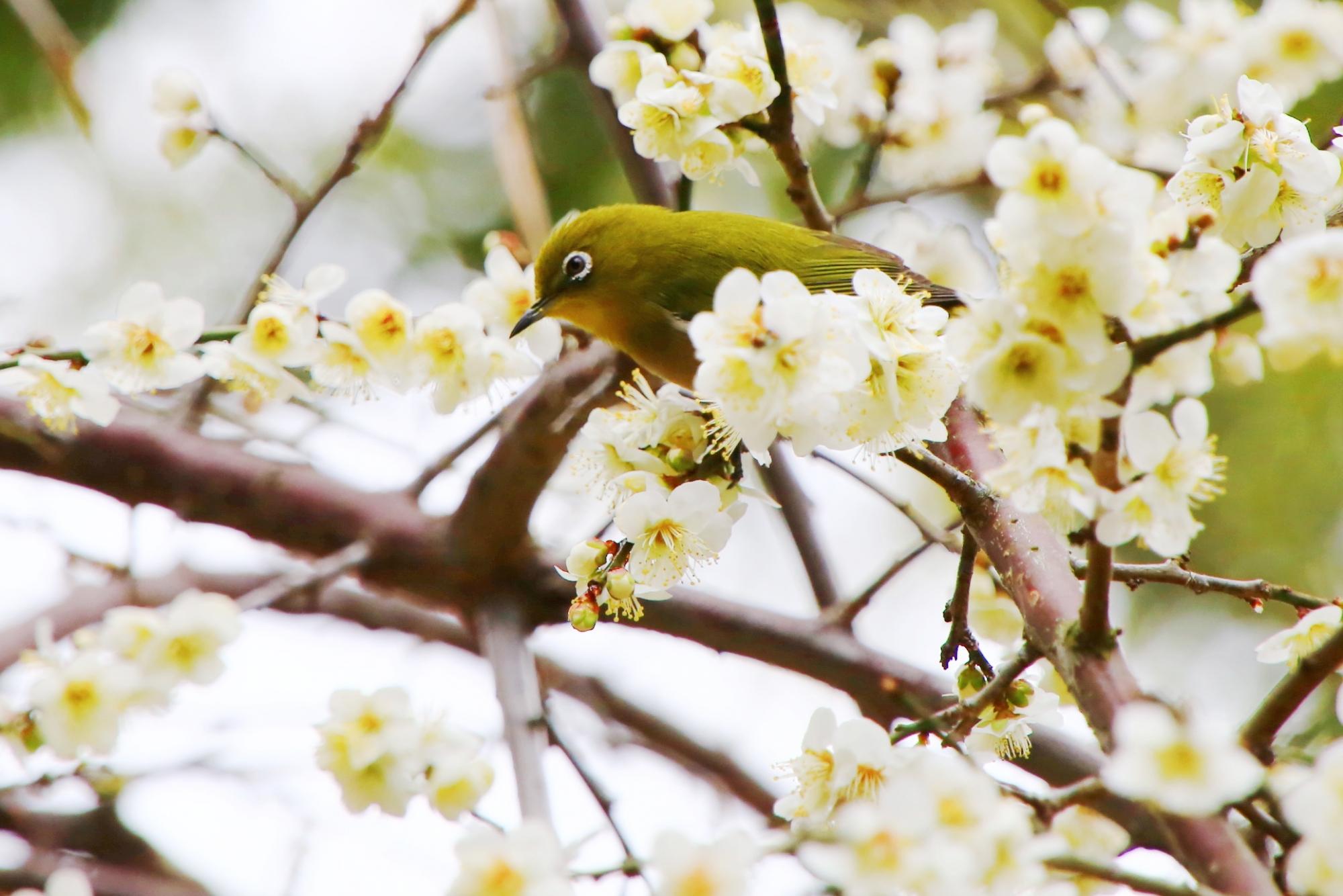 絵になる梅とメジロの春先の風景