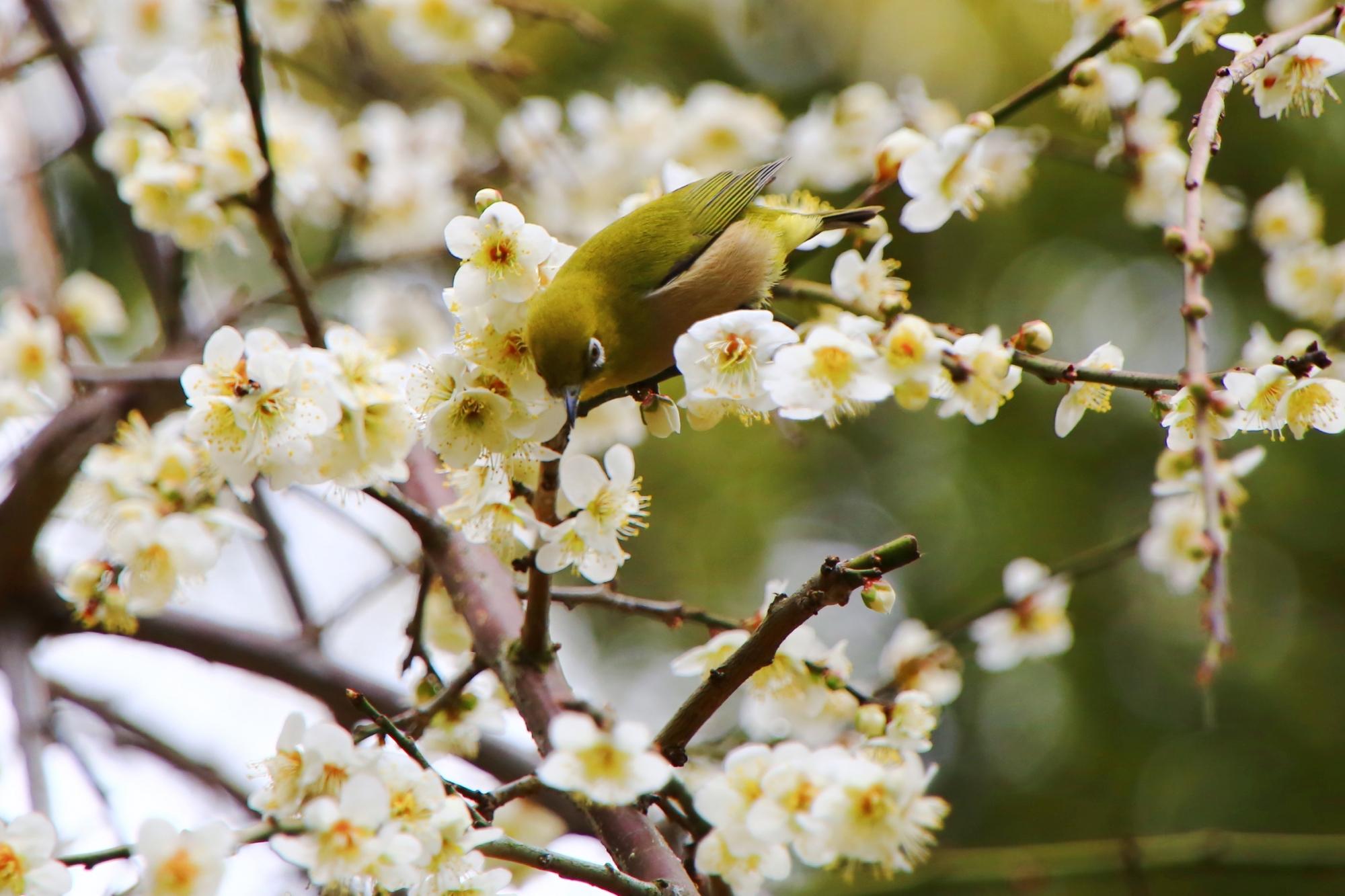 しばらく花の蜜を吸うとすぐにどこかへ行ってしまうメジロ