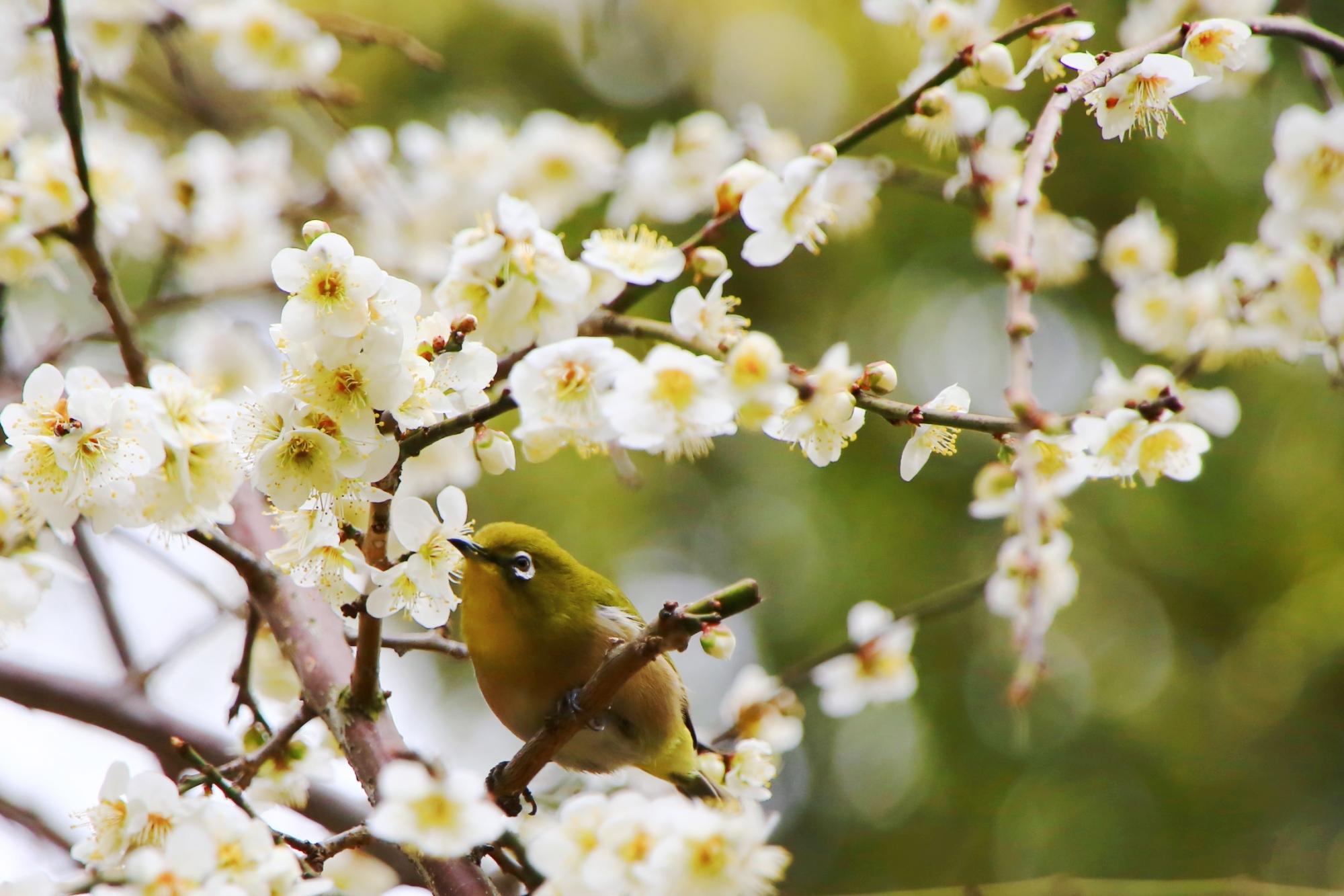白い梅の花につつまれた緑のメジロ