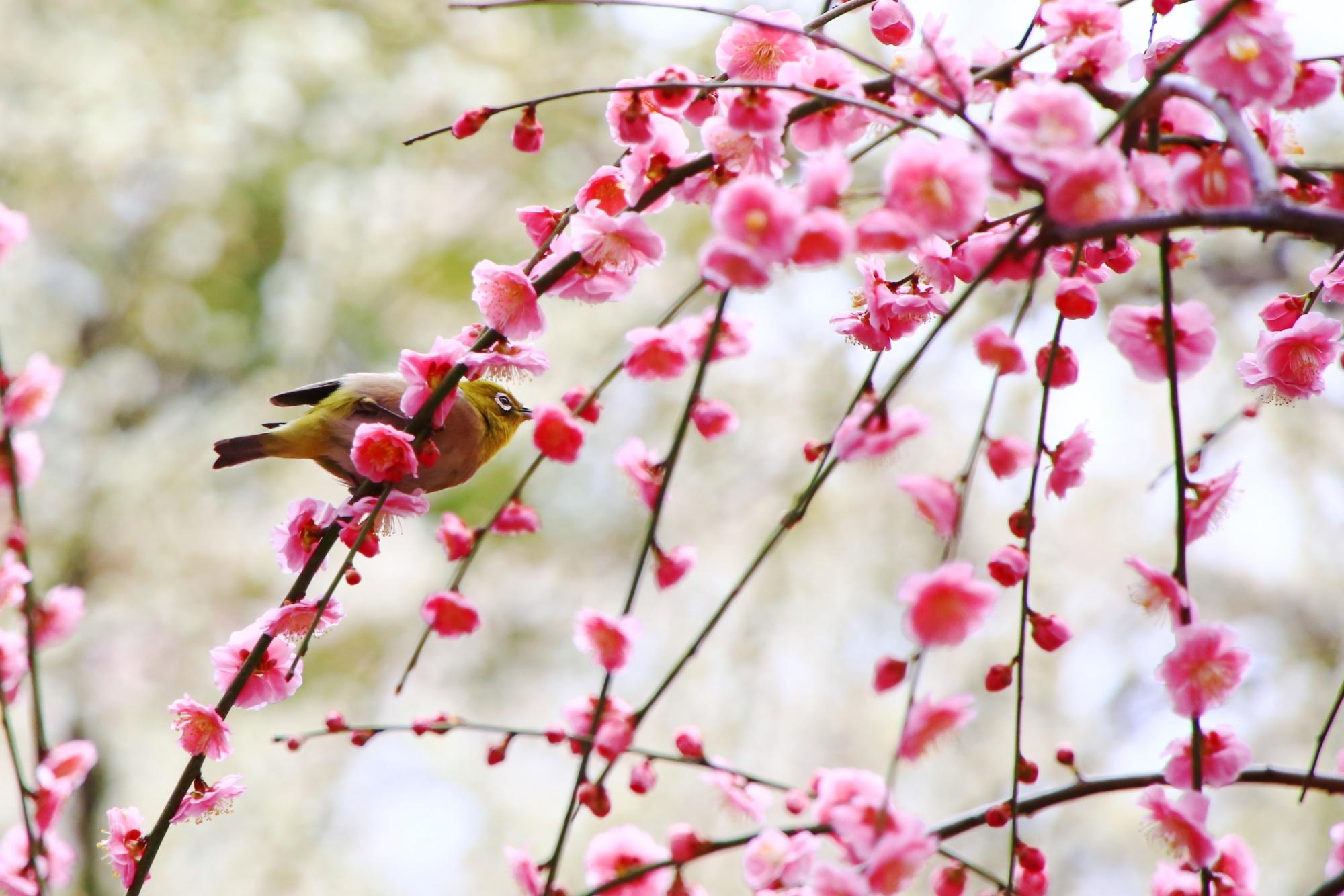 梅の枝を縦横無尽に行き来するメジロ