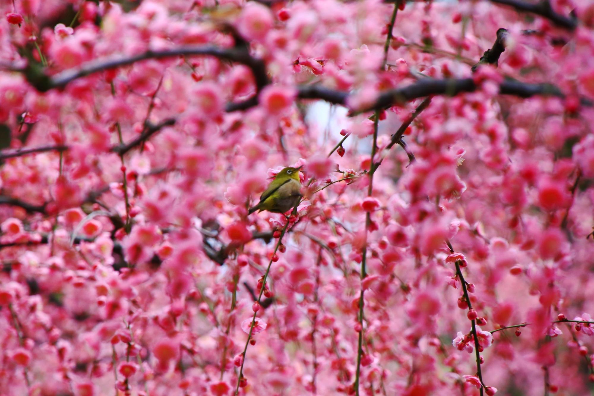 メジロの美しさを引き立てる鮮やかなピンクのしだれ梅