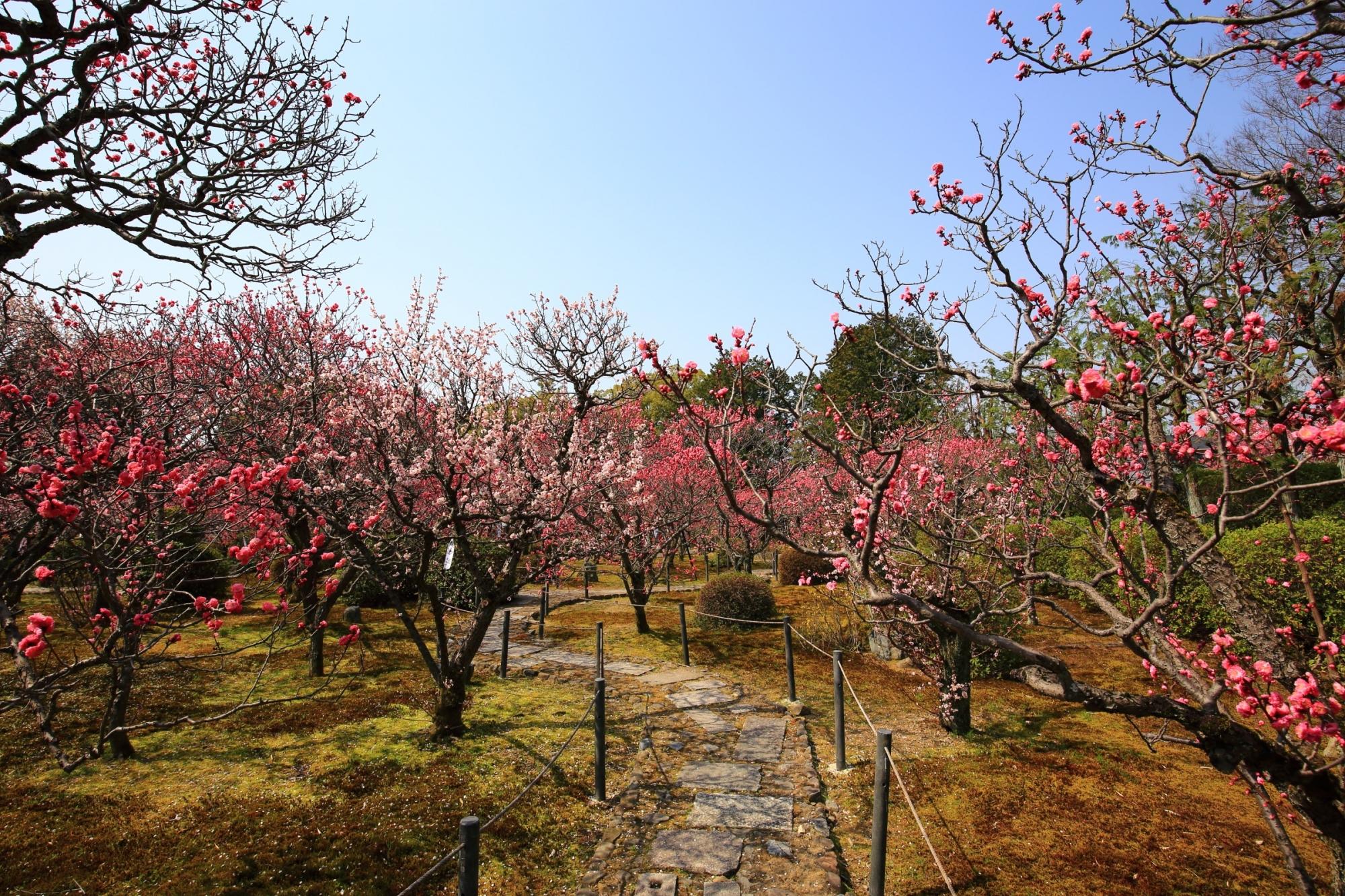 小野小町ゆかりのお寺の随心院の梅