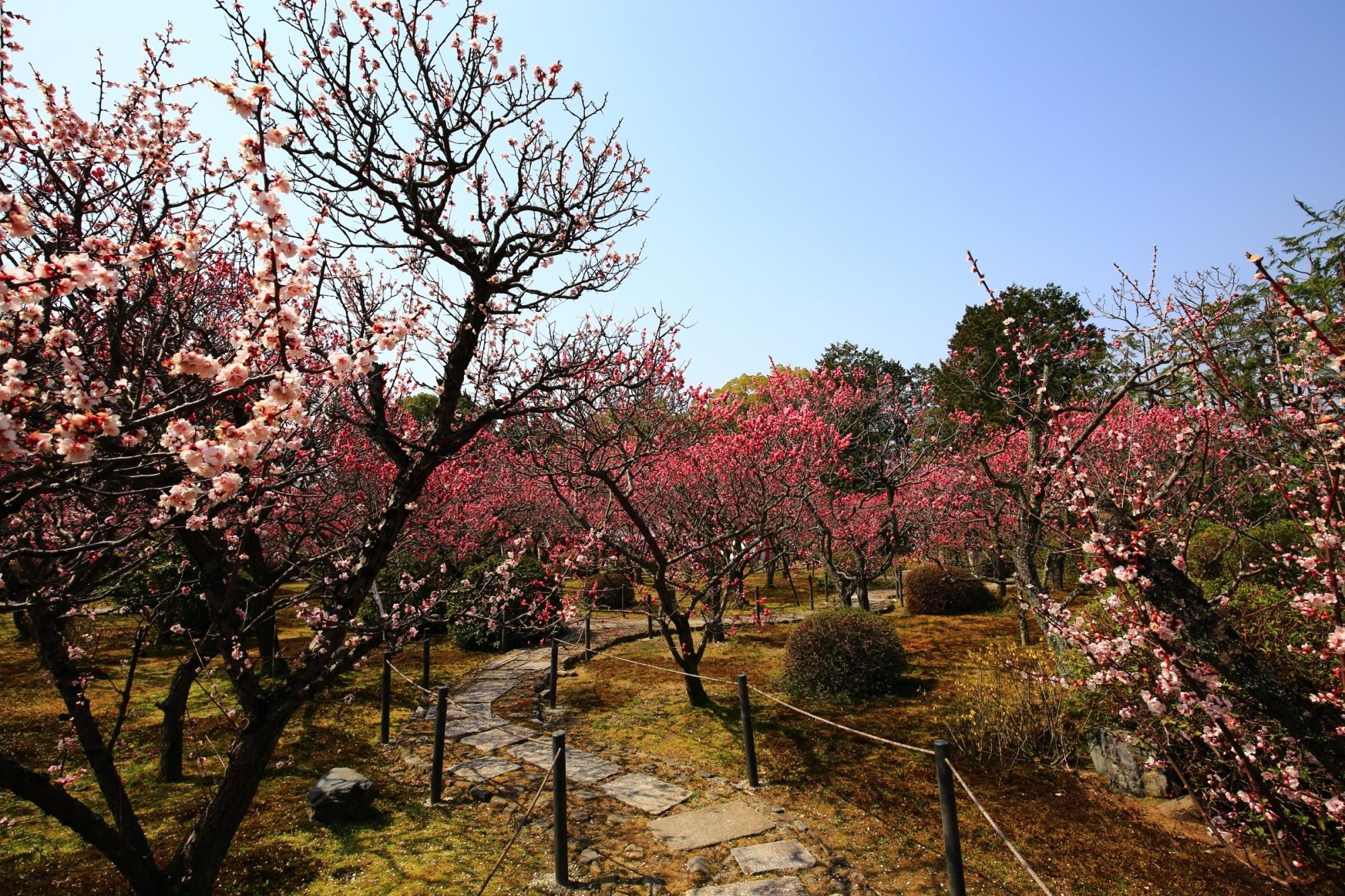 華やかな梅の花が咲く広い梅園