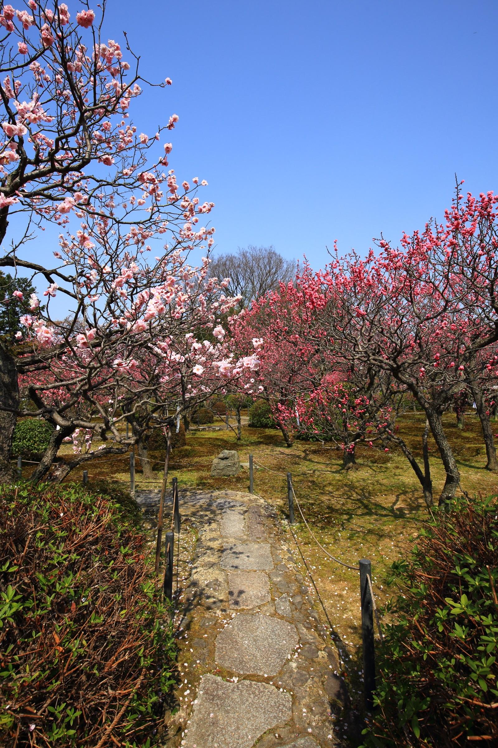 青空に映える華やかな梅の花と飛び石の参道