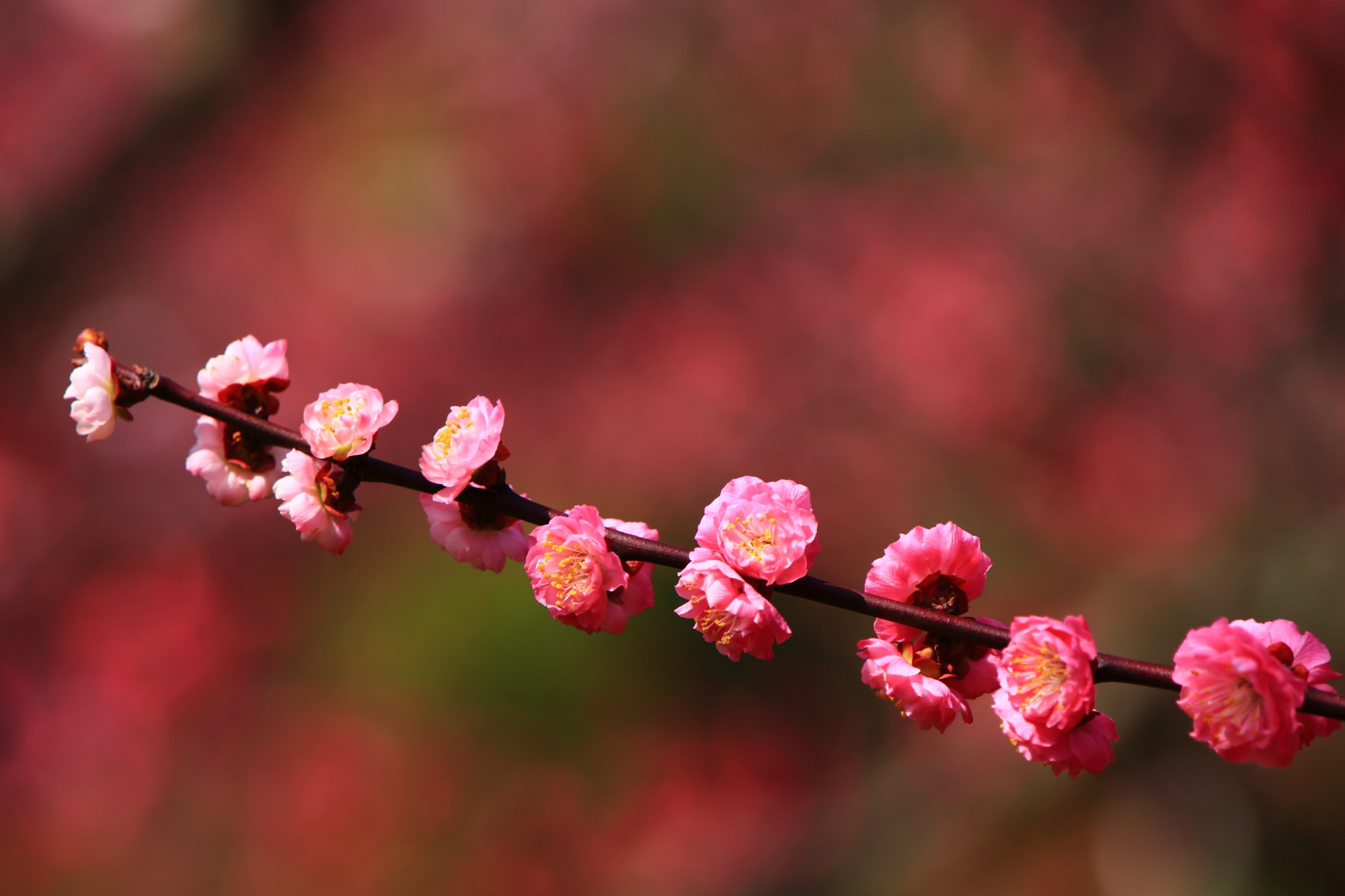 綺麗に整列して咲くピンクの可愛い紅梅