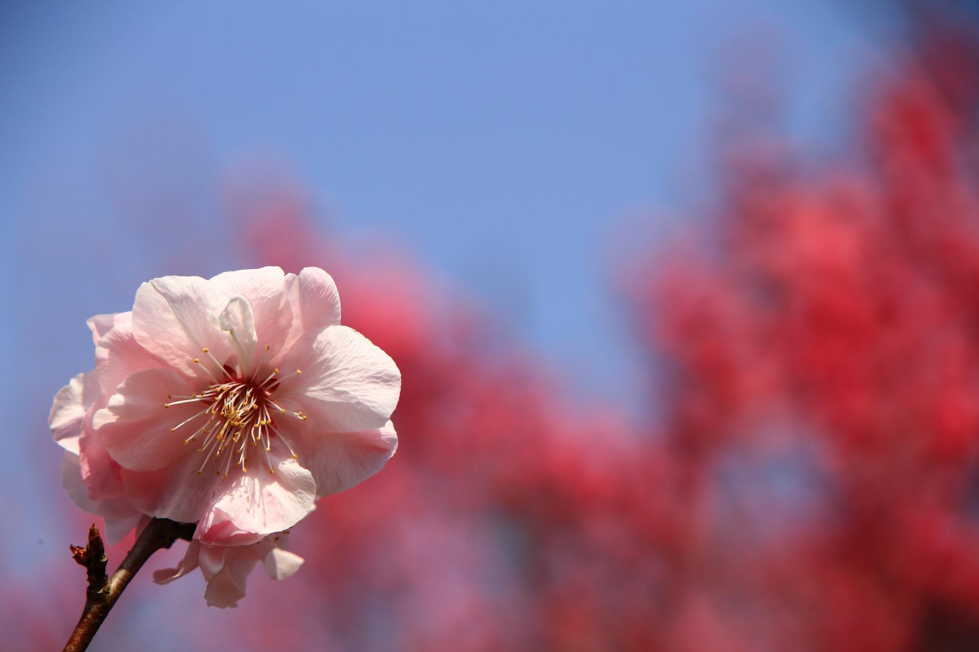 太陽に照らされる可憐な薄いピンクの梅の花