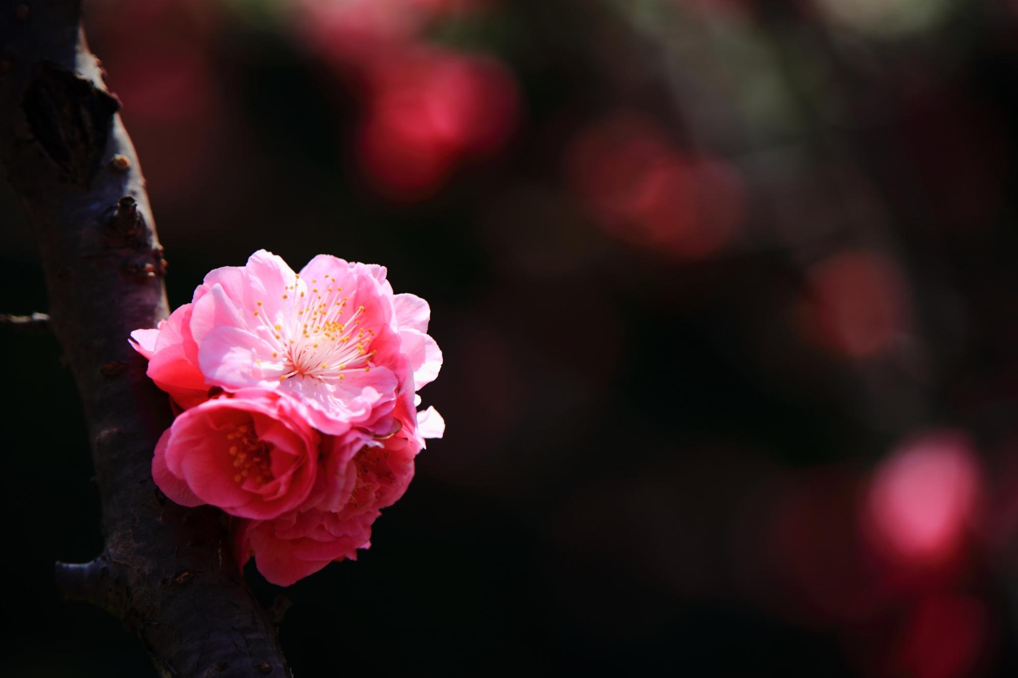 モコモコと咲く梅の花