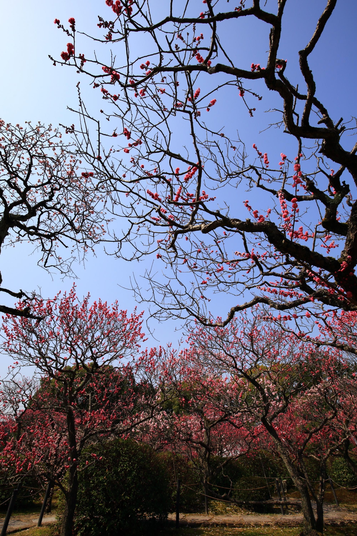 春先の空を彩る芸術的な梅の枝と花