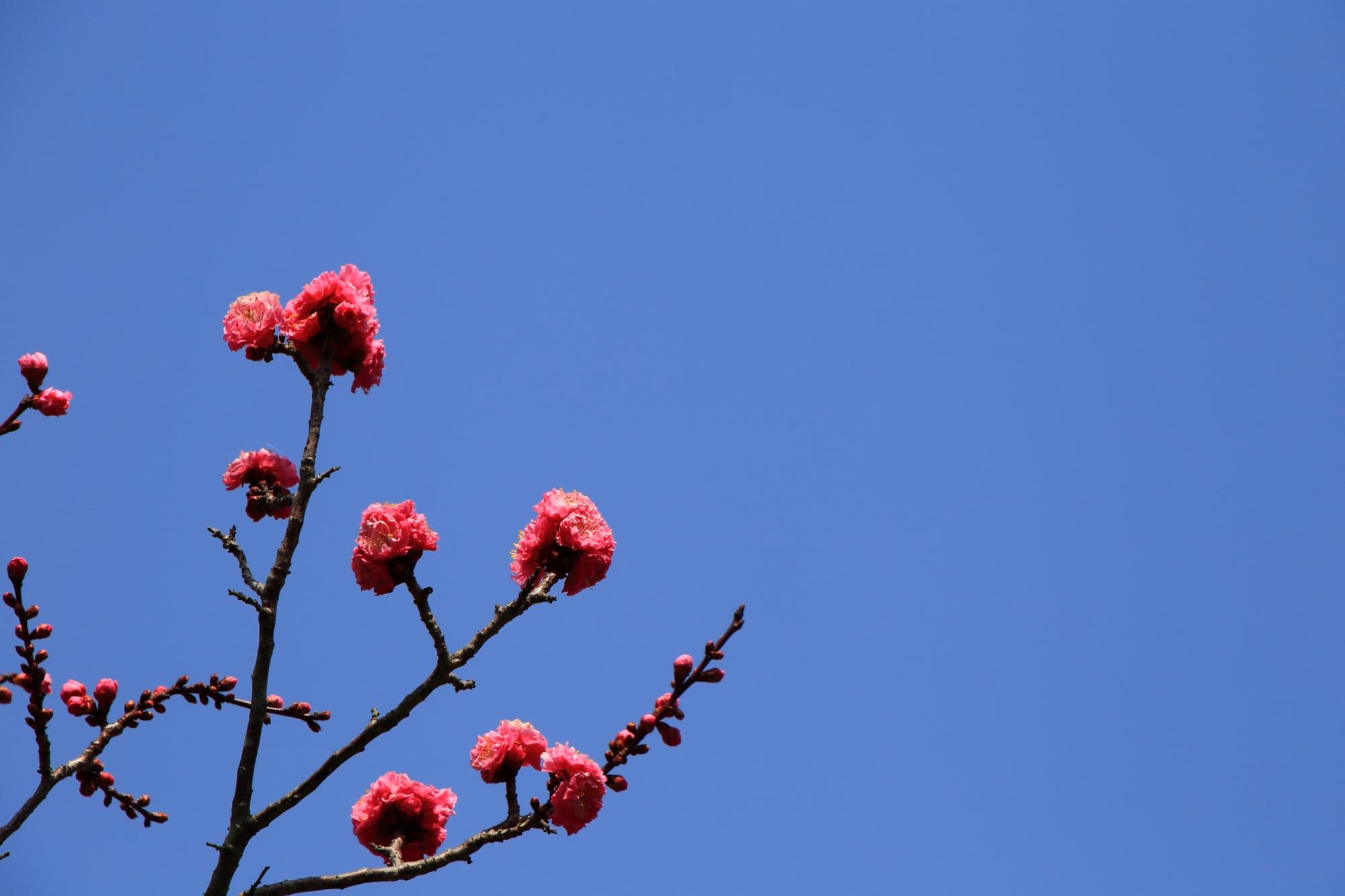 天に向かって咲く梅の花
