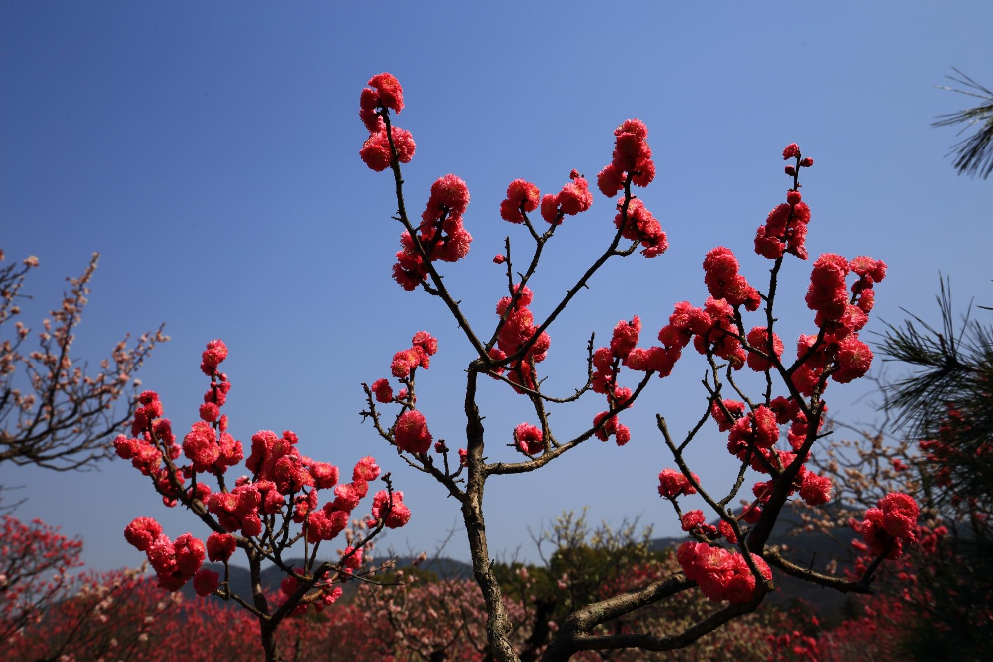 濃いビビッドな赤い梅の花