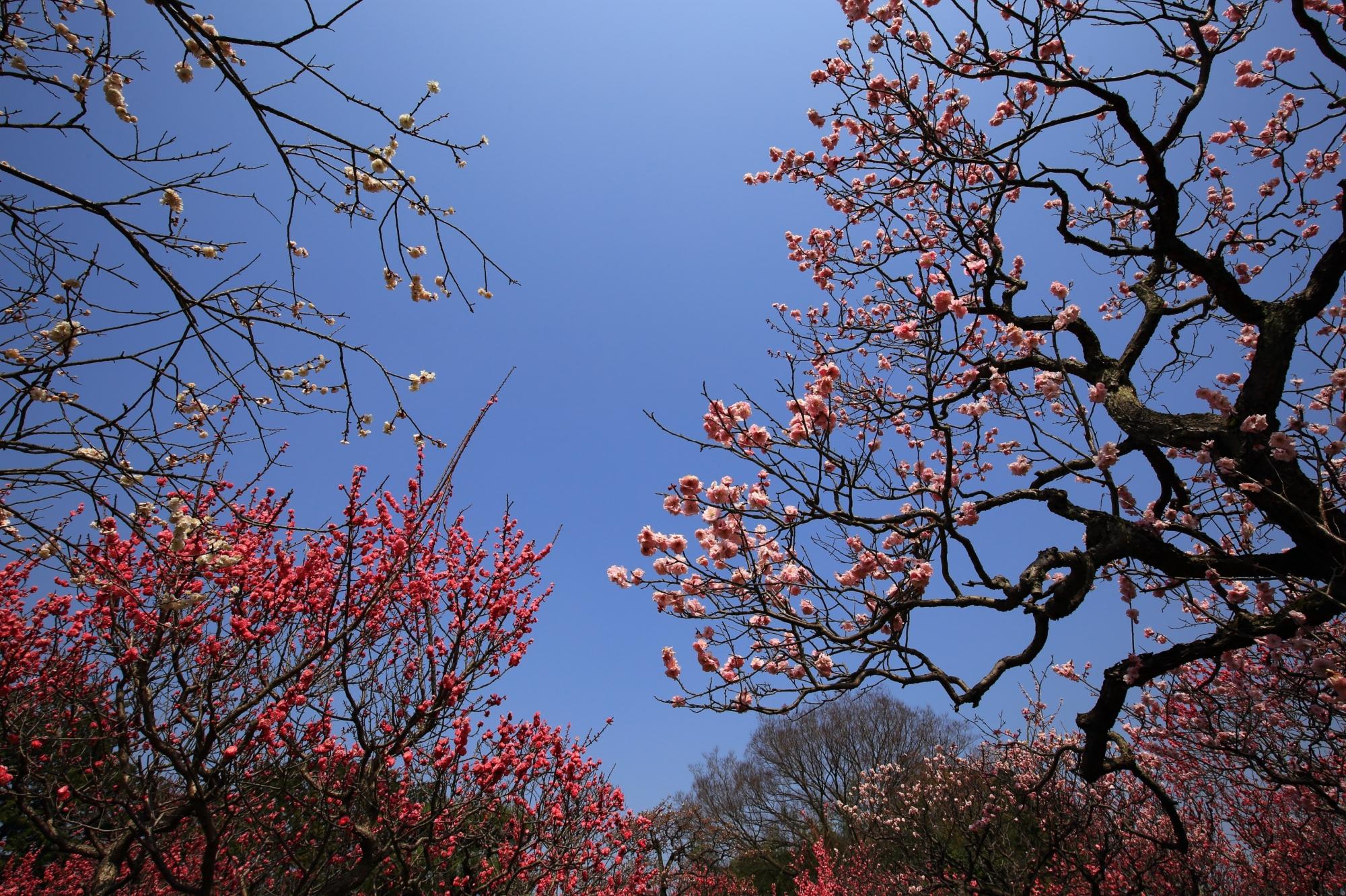 青空をそめる色とりどりの梅の花