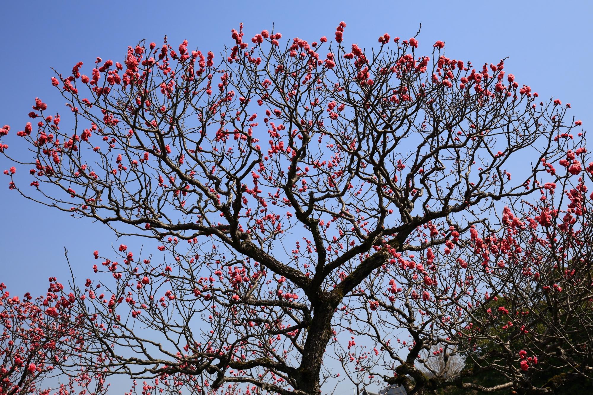 幹のくねりや枝の伸び方が芸術的な梅の木