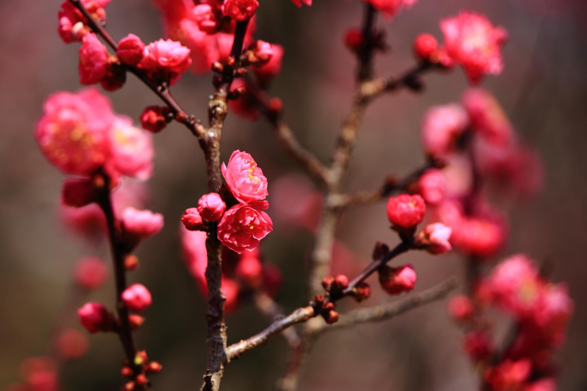 華やかであり風情も感じられる梅の花
