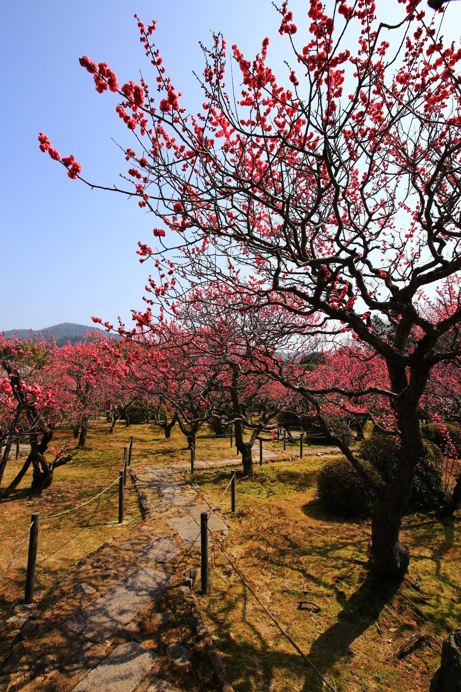 上も下も鮮やかな梅の花につつまれる随心院