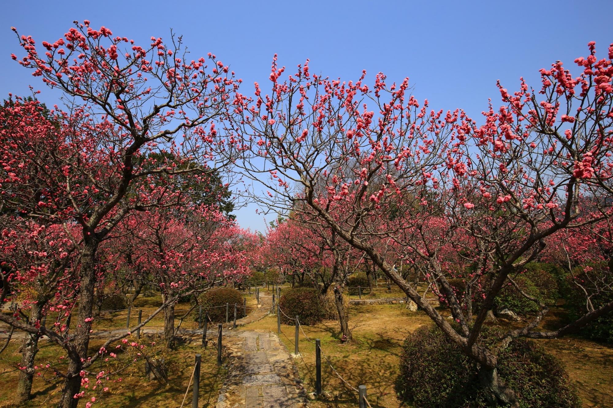 山科の隠れた梅の名所の随心院の小野梅園