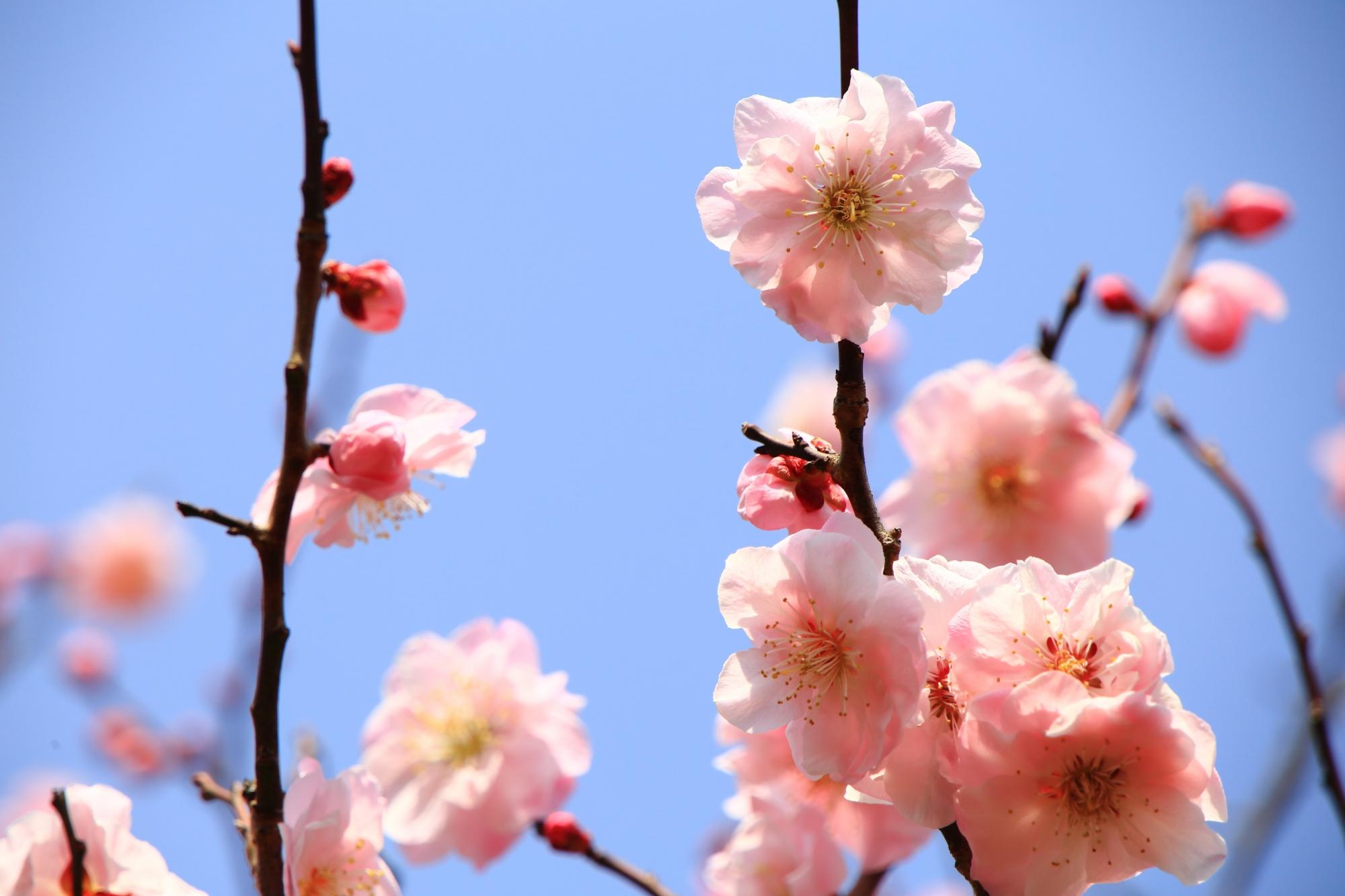 青空に透き通るような淡いピンクの梅の花