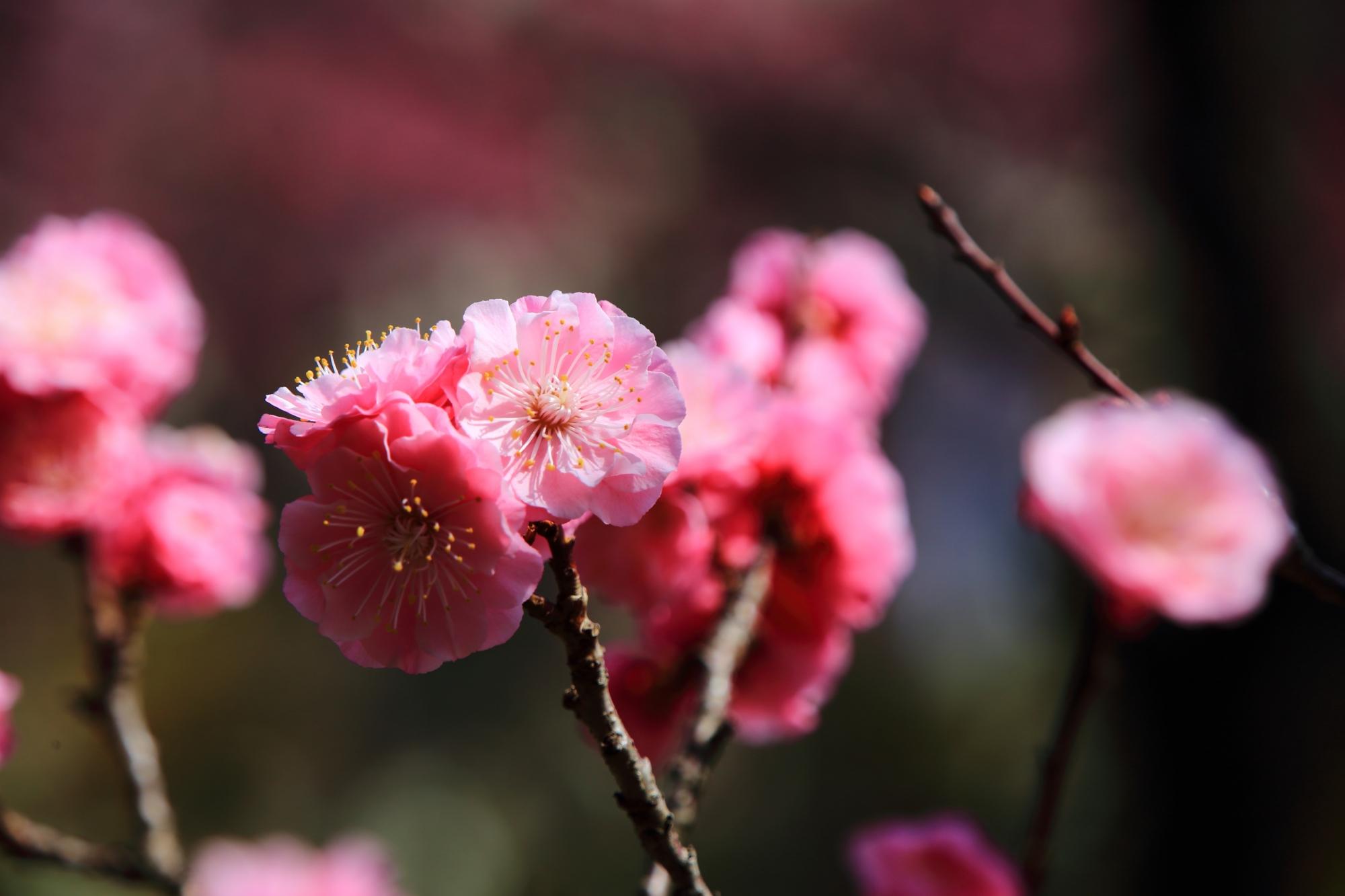 随心院の所狭しと咲き誇る梅の花
